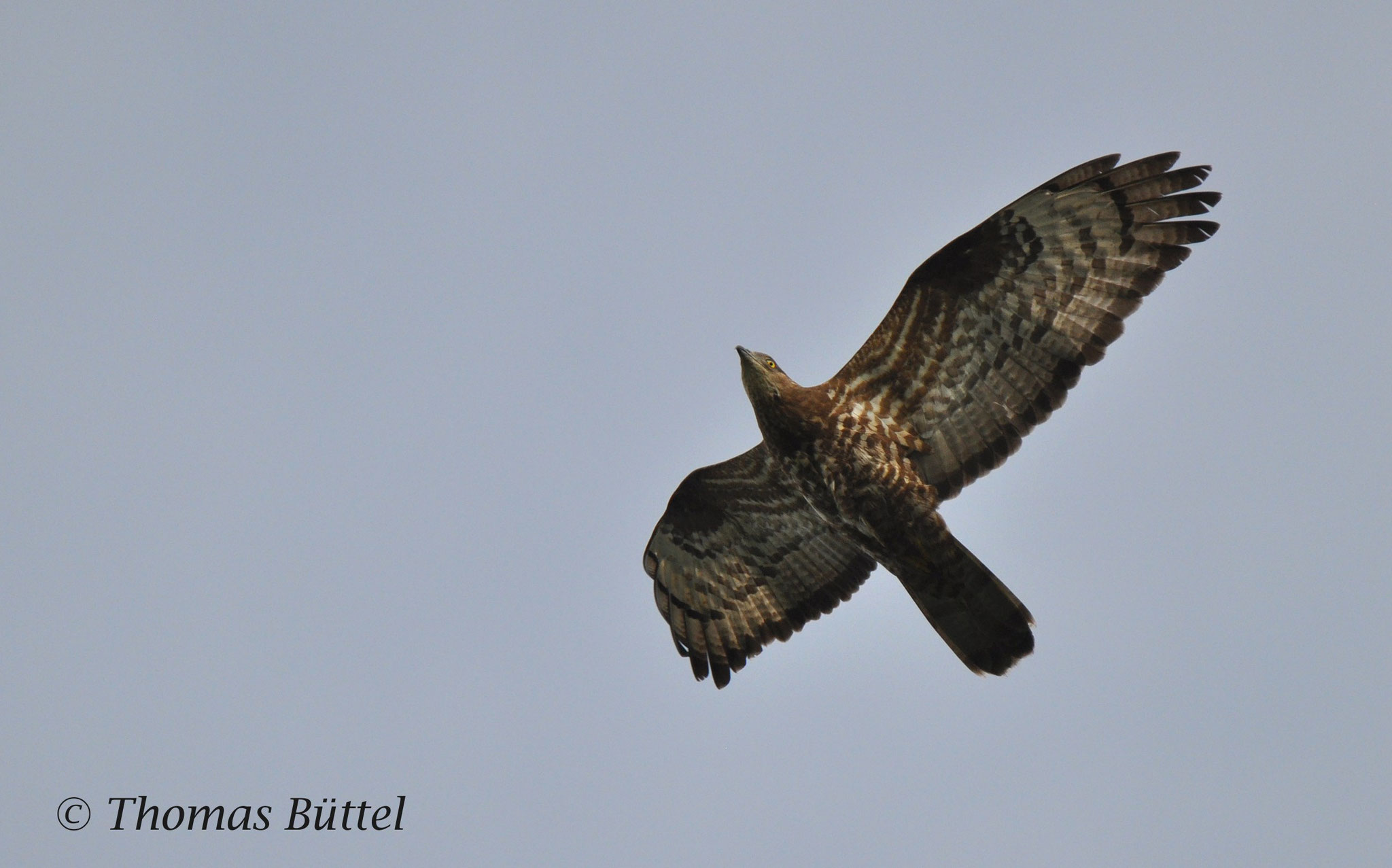 Eurasian Honey Buzzard