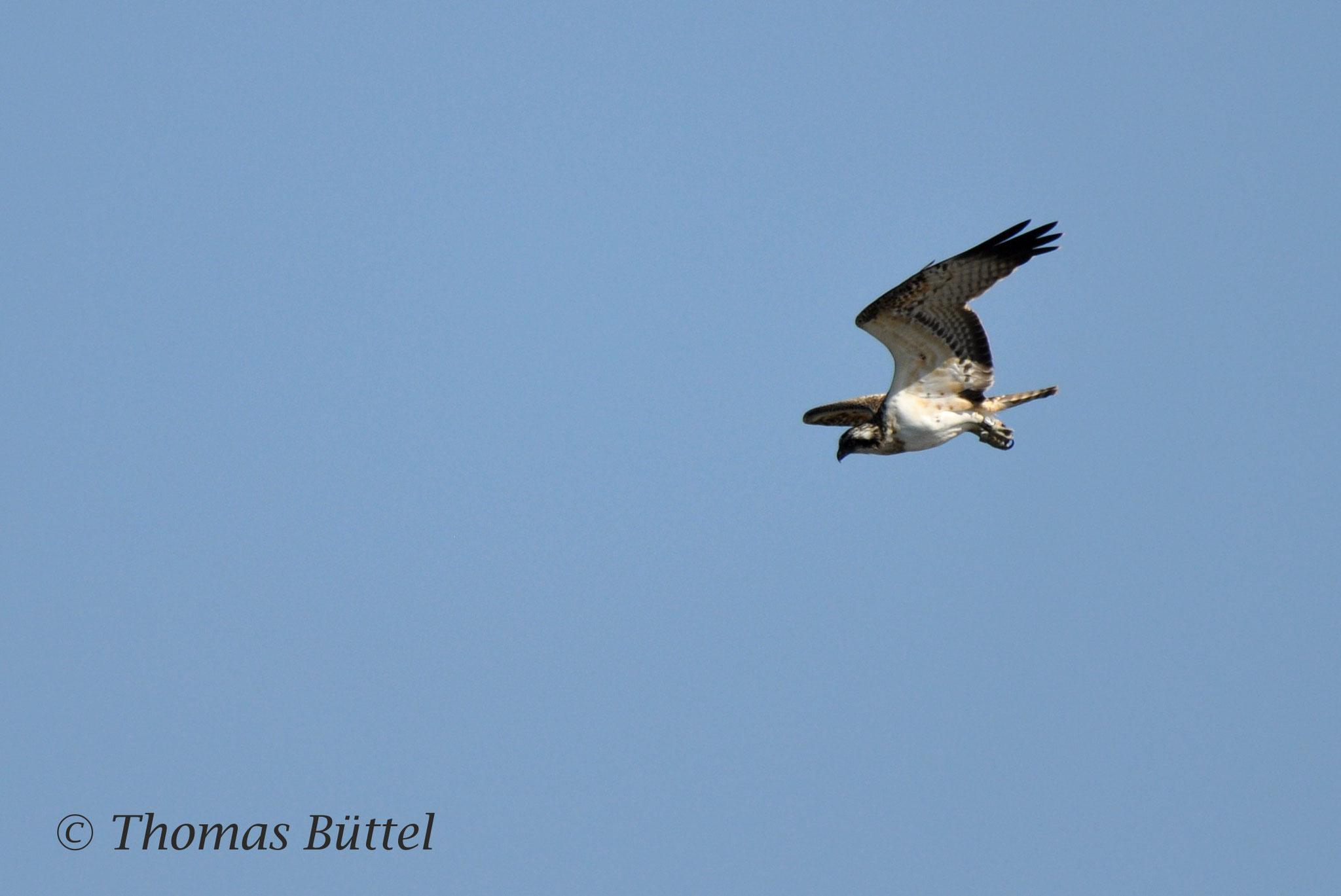Osprey (juvenile)
