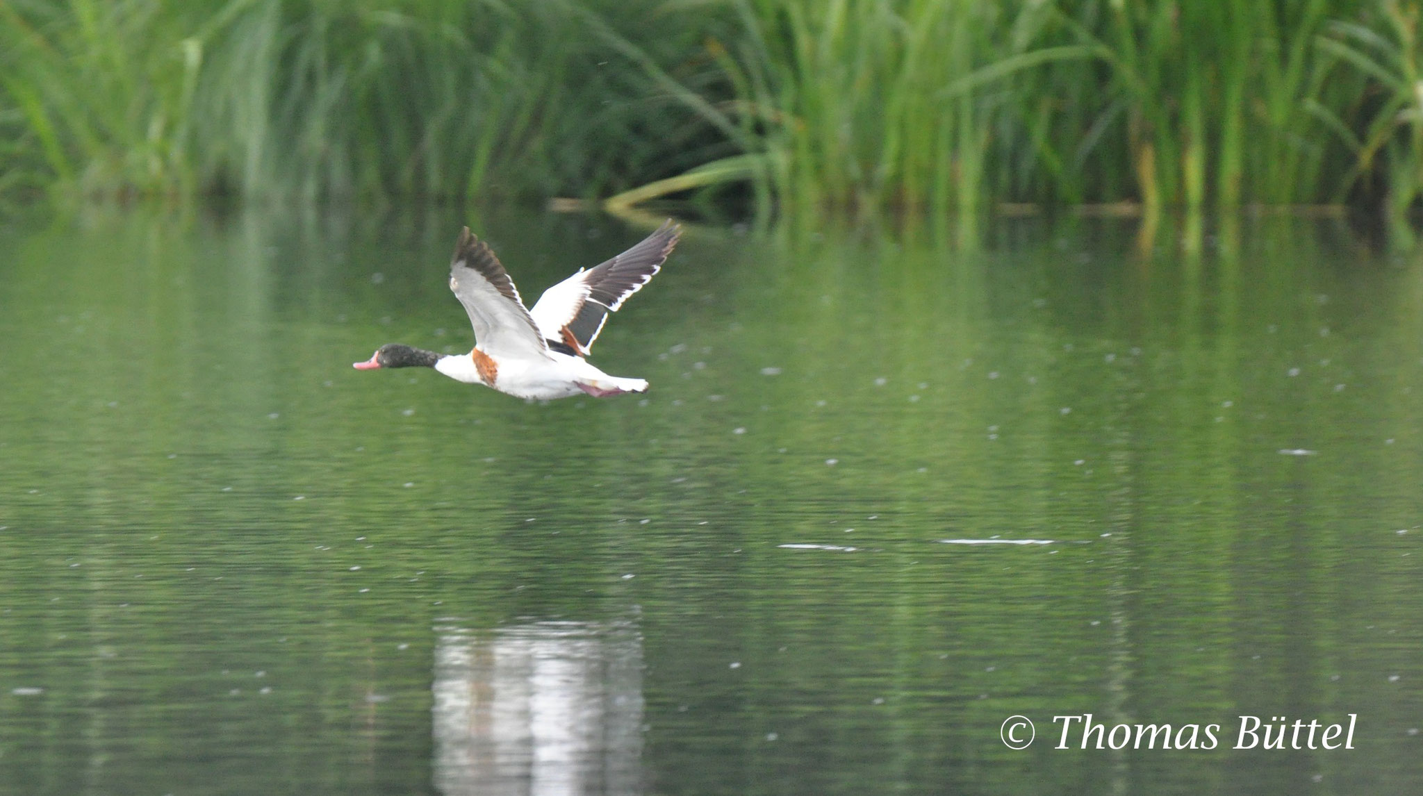 Shelduck - rarely seen during breeding season