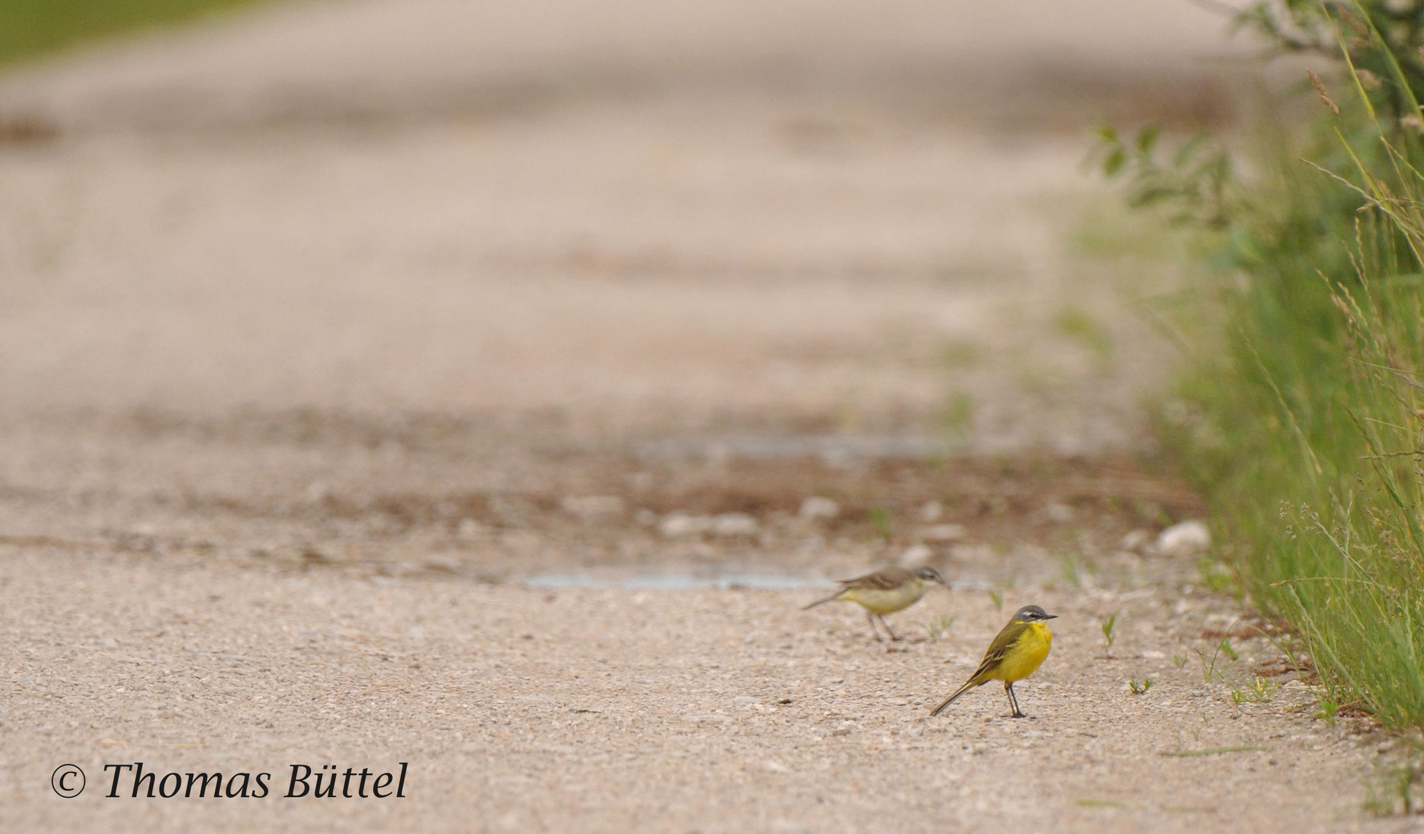 pair of Blue-headed Wagtails
