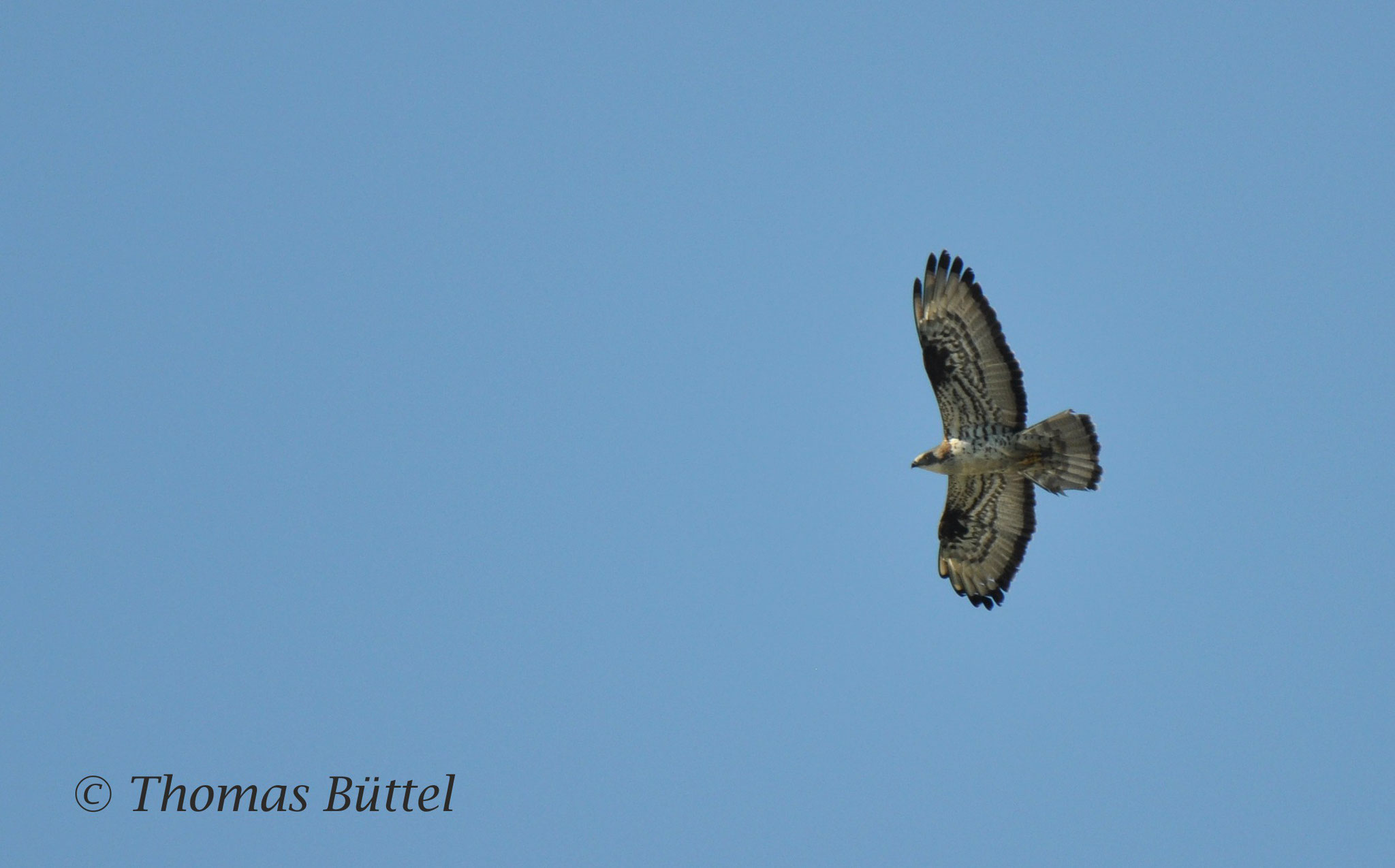 male Honey Buzzard