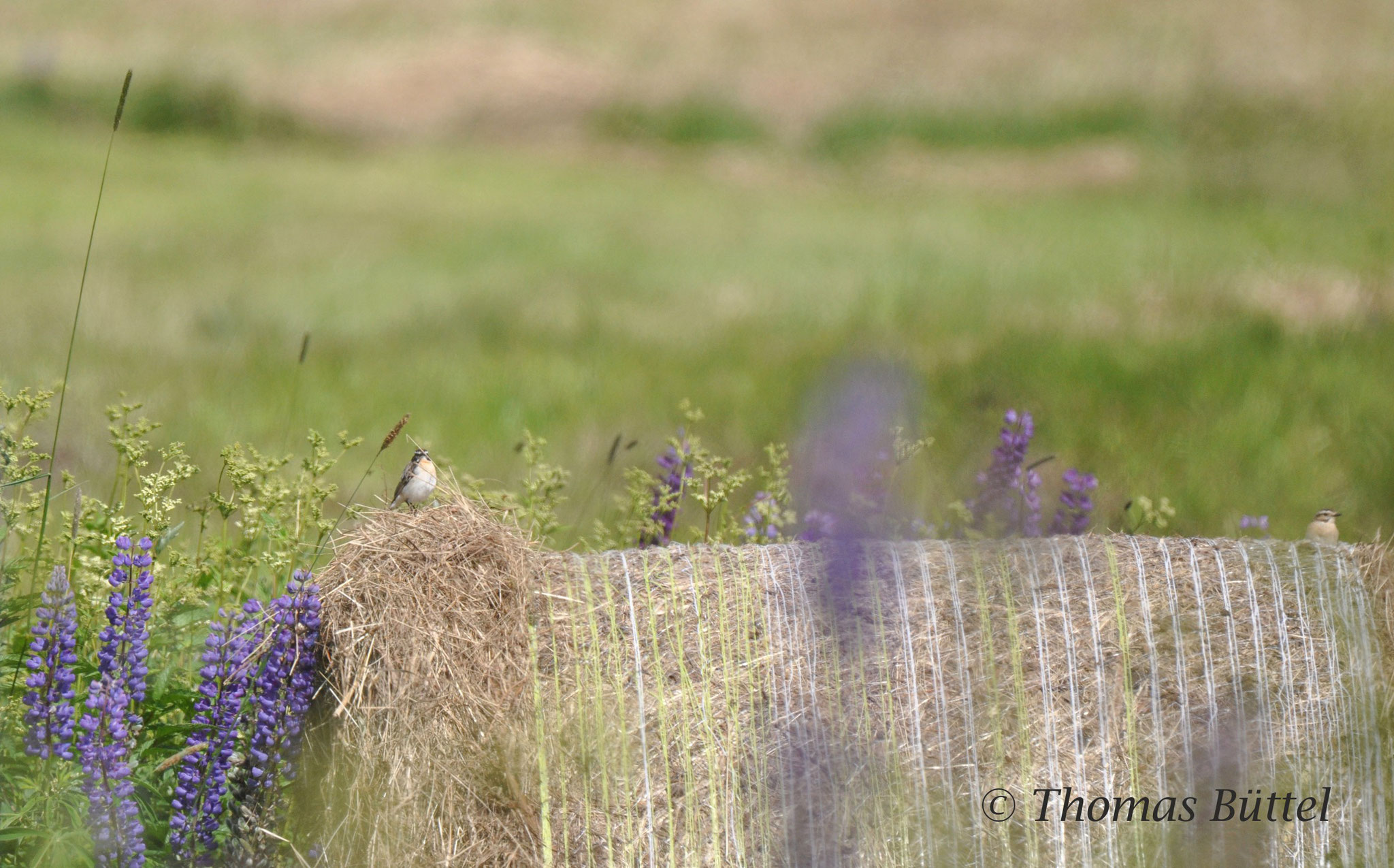 pair of Whinchats