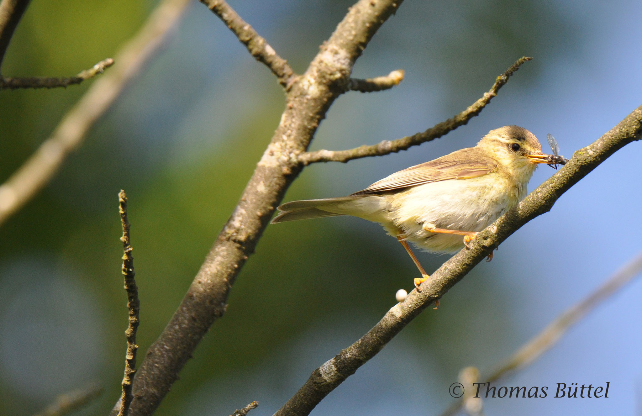successful juvenile Willow Warbler