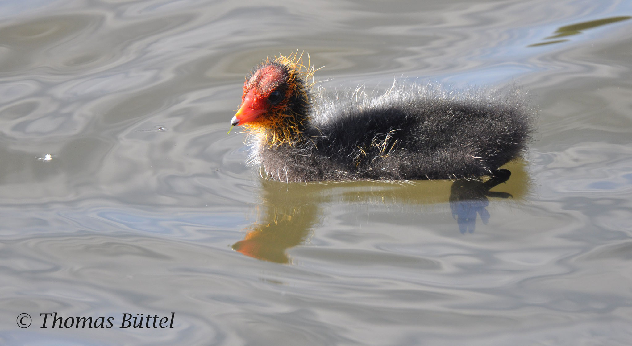 freshly-hatched Coot