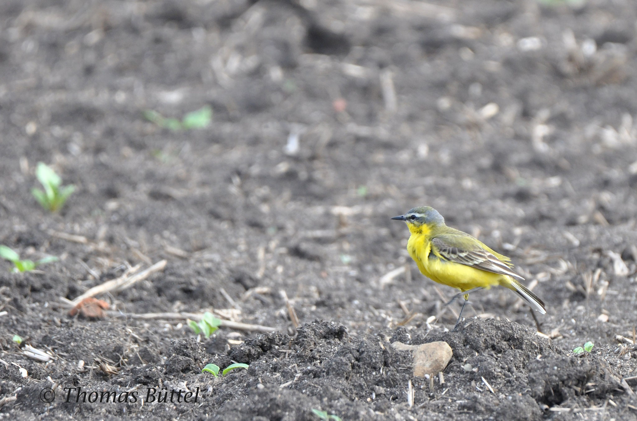 classic male Blue-headed Wagtail
