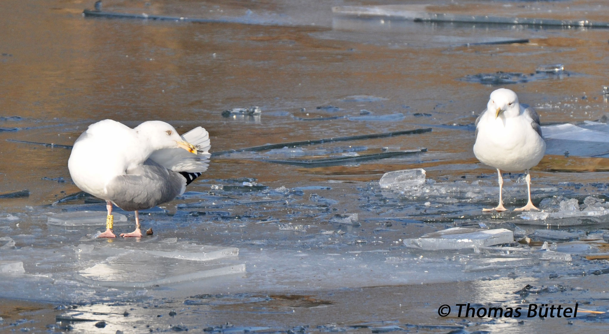 """Herring Gull"" (left) and Caspian Gull (right"
