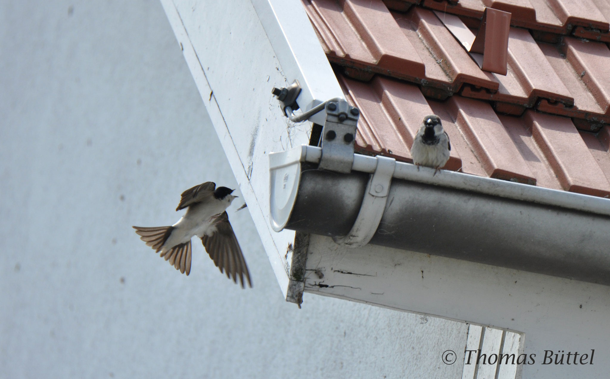House Martin (left) and House Sparrow (right)