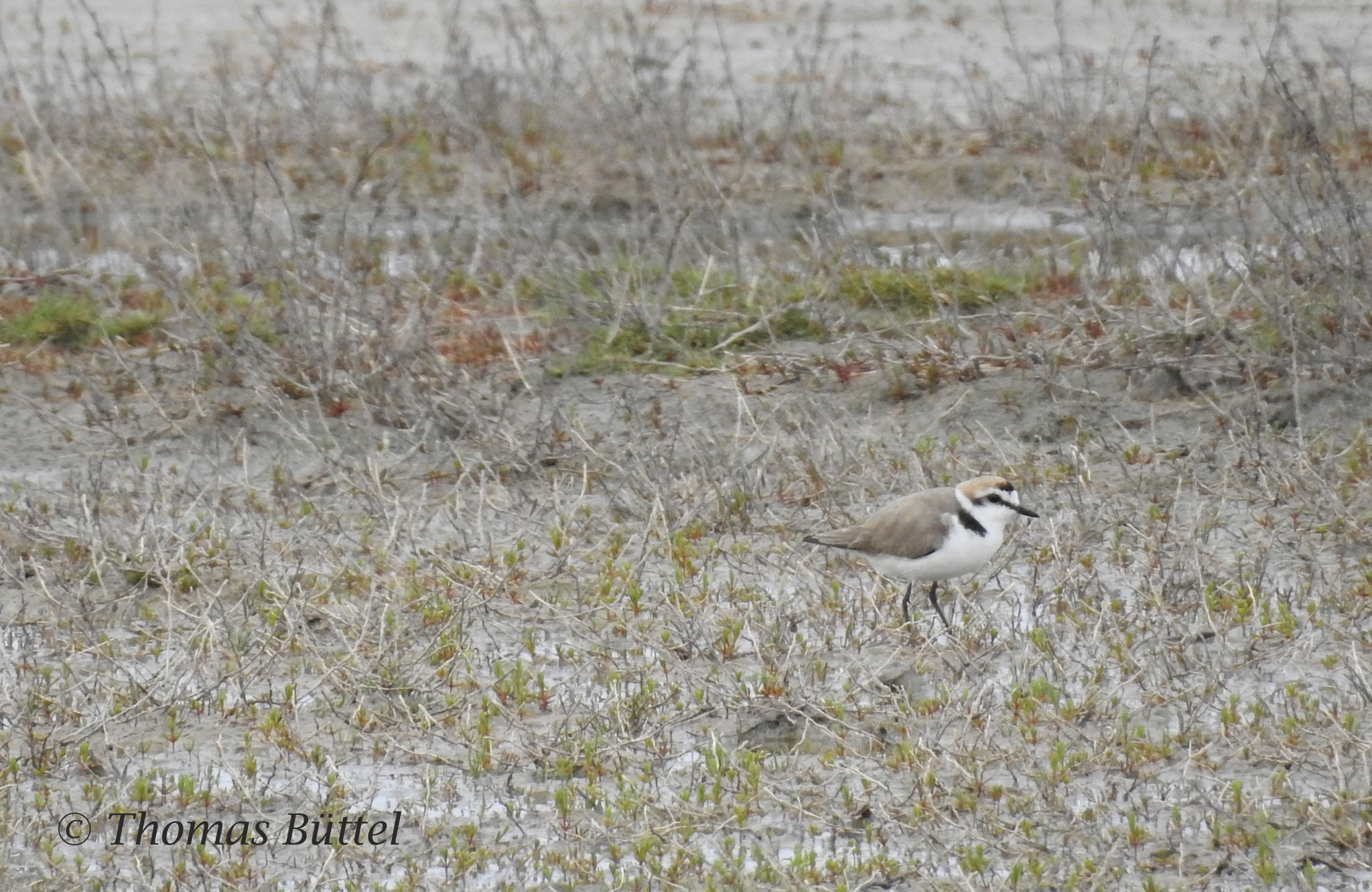 Kentish Plover (regular breeder which is normally found only at the coasts!)