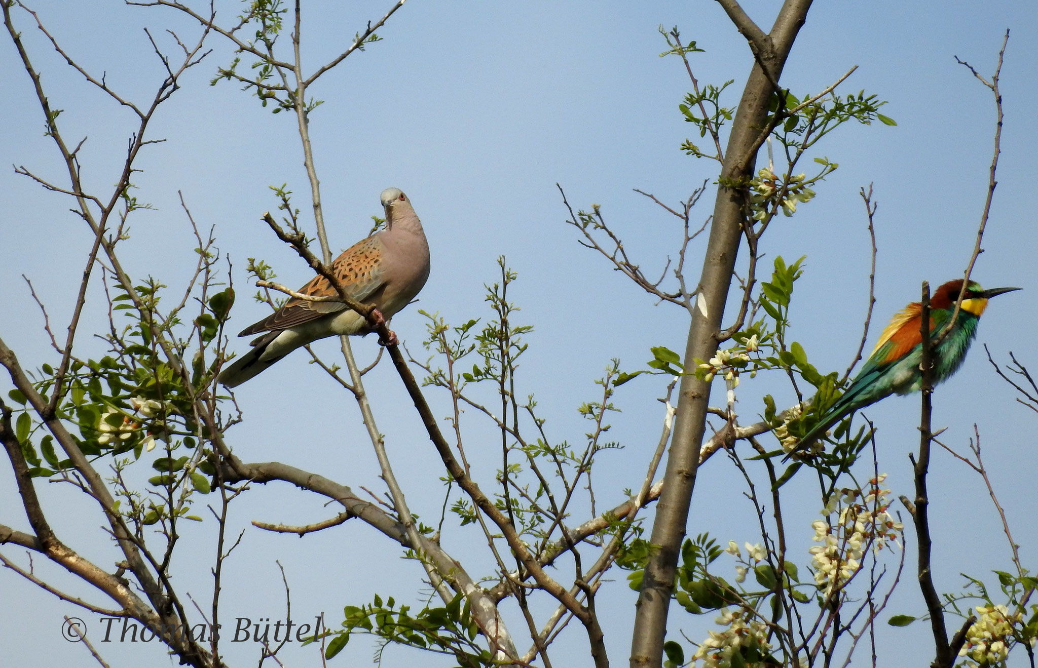 Turtle Dove and Bee-eater