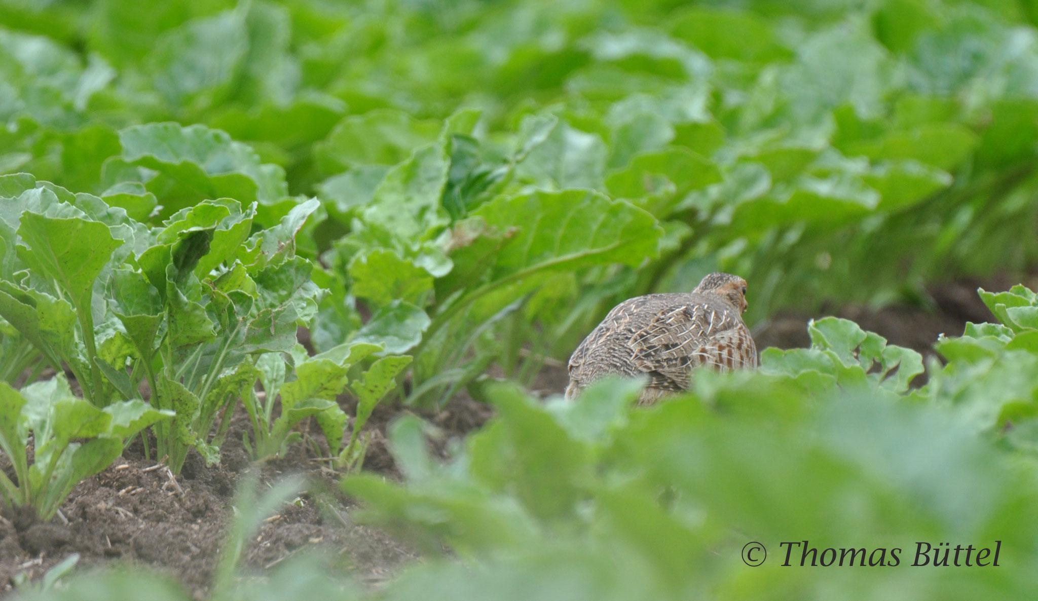 Rebhuhn - noch mindestens zwei Paare leben in der angrenzenden Feldflur