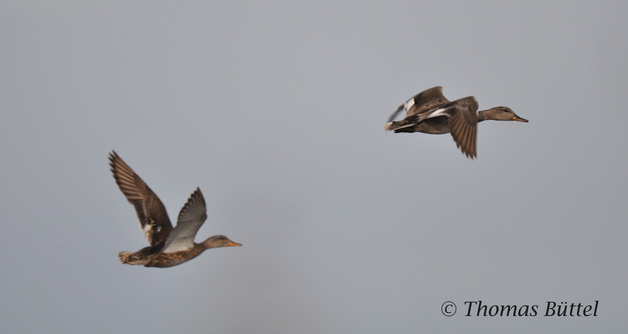 pair of Gadwalls