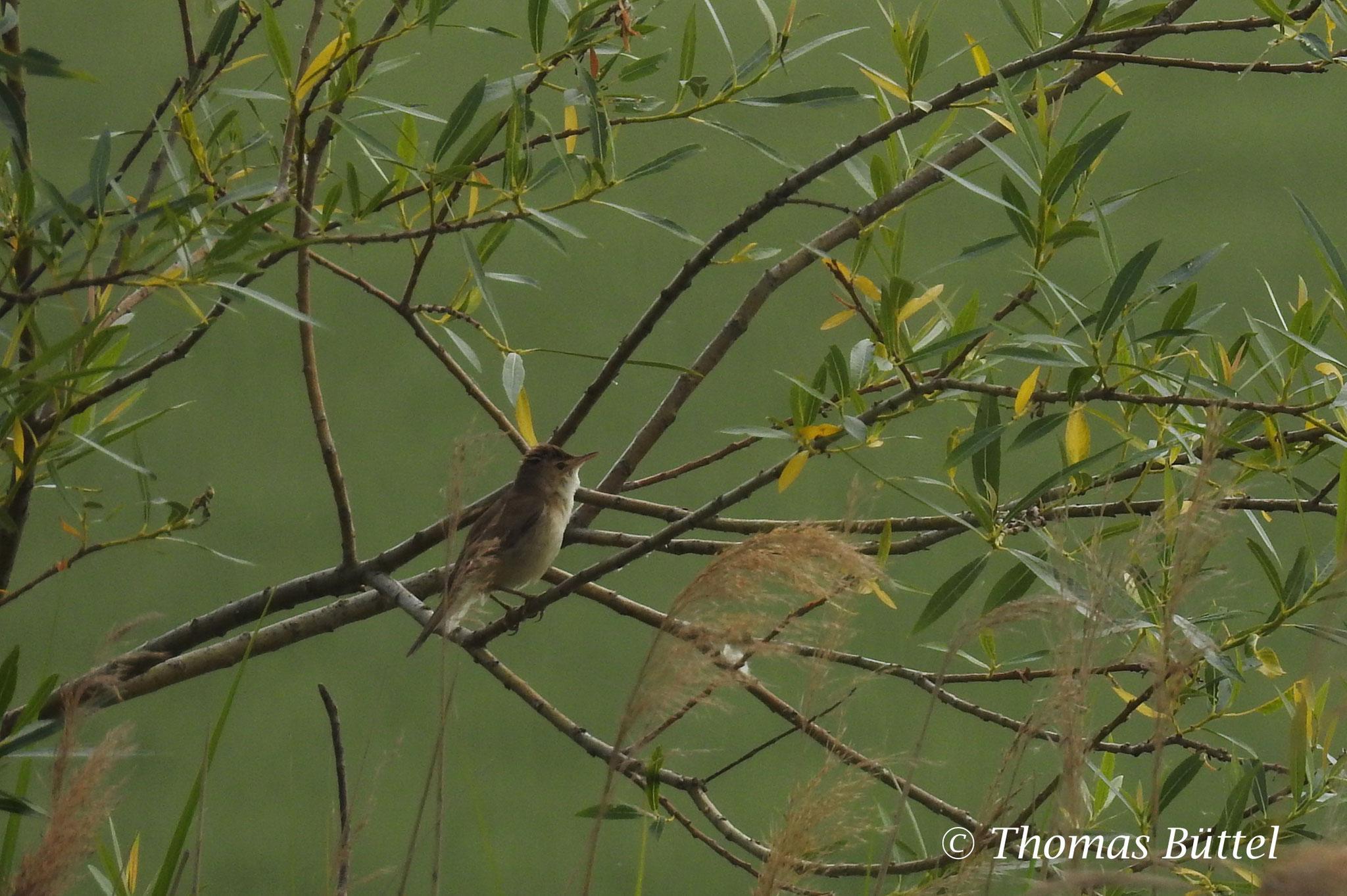 distant Marsh Warbler