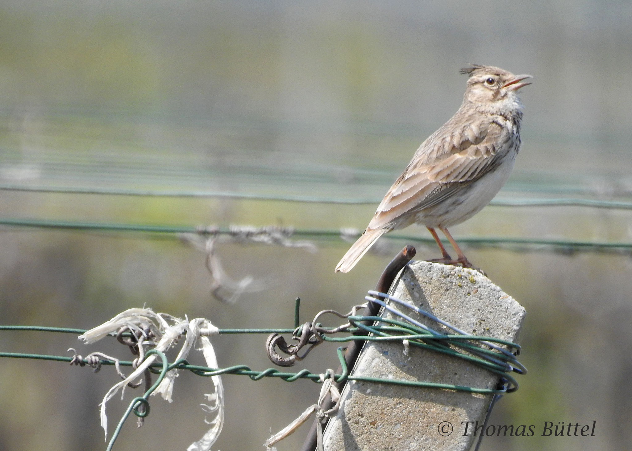 Crested Lark (common)
