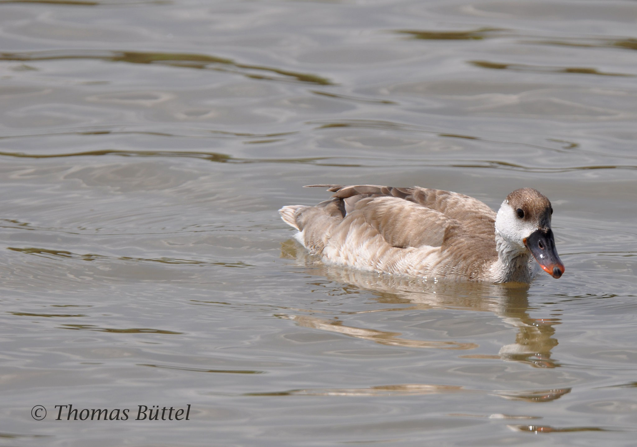 female Red-crested Pochard