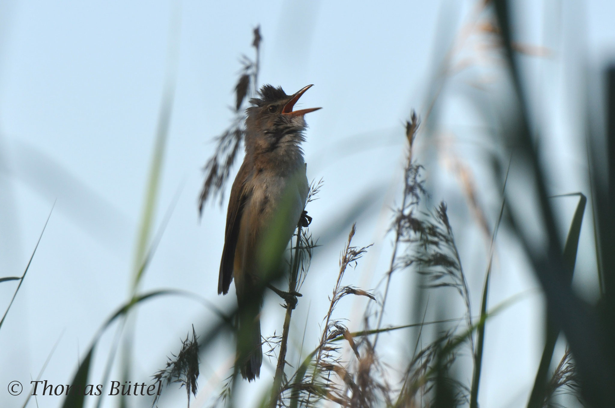 "Great Reed Warbler (my first ""decent"" shot of this species ever!)"