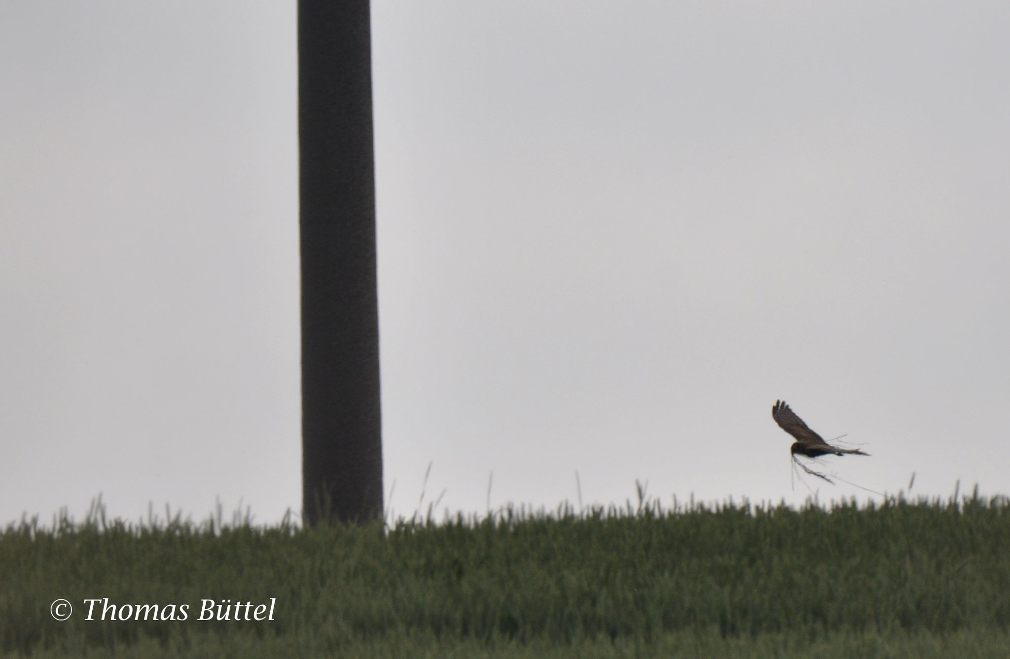 record shot: female Montagu's Harrier carrying nesting material