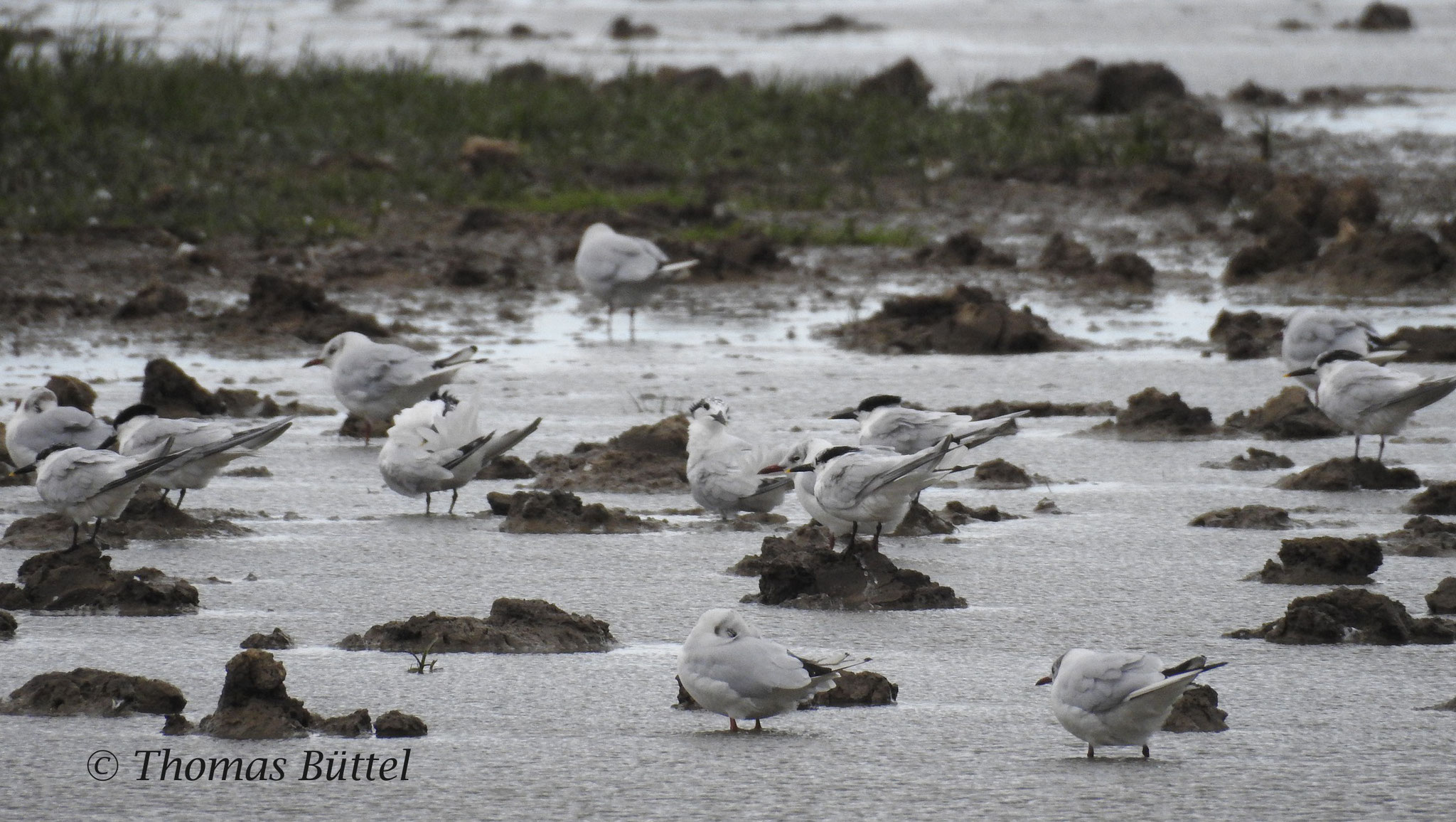 Sandwich Terns in midst of Black-headed Gulls