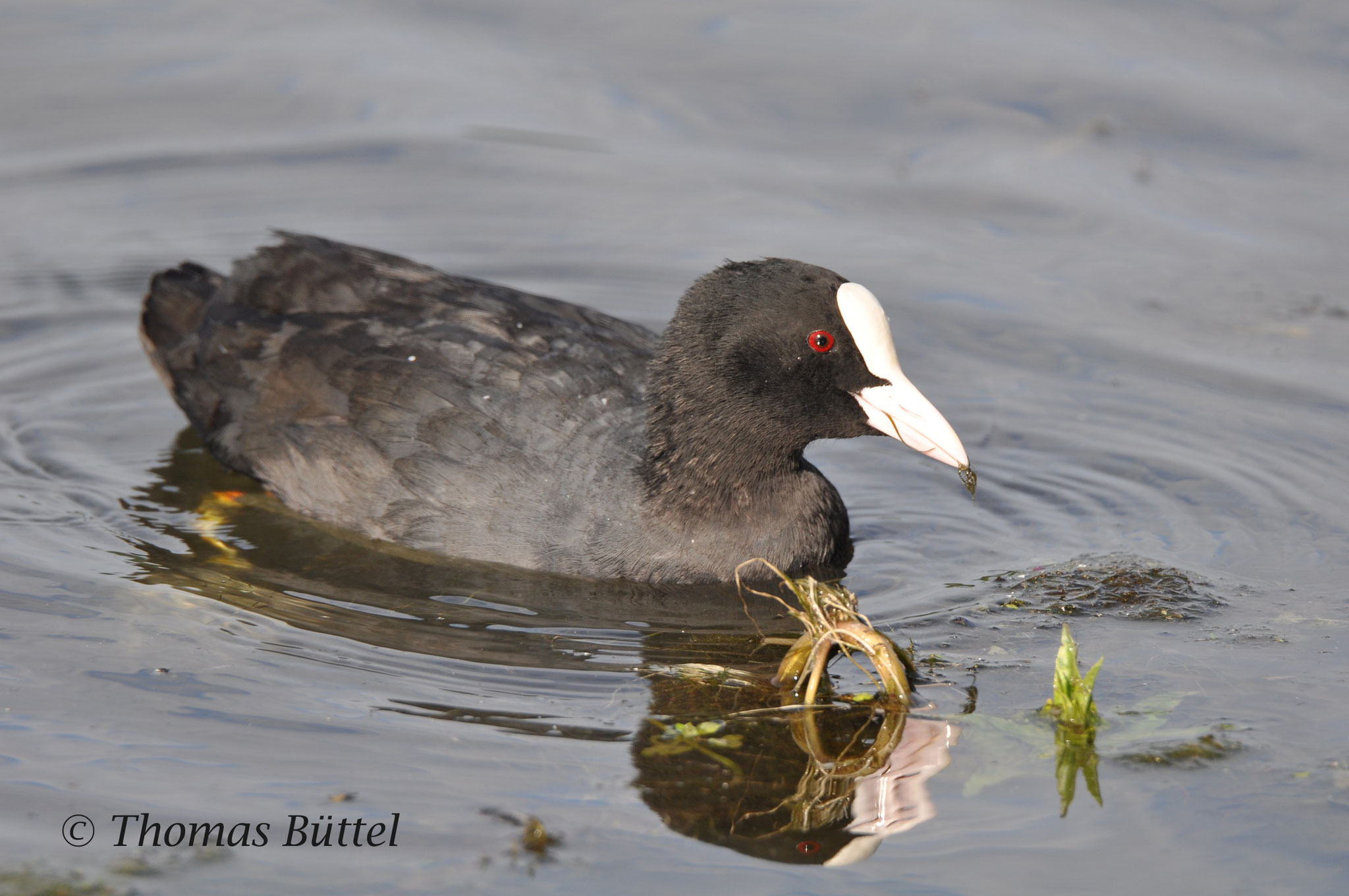 adult Coot