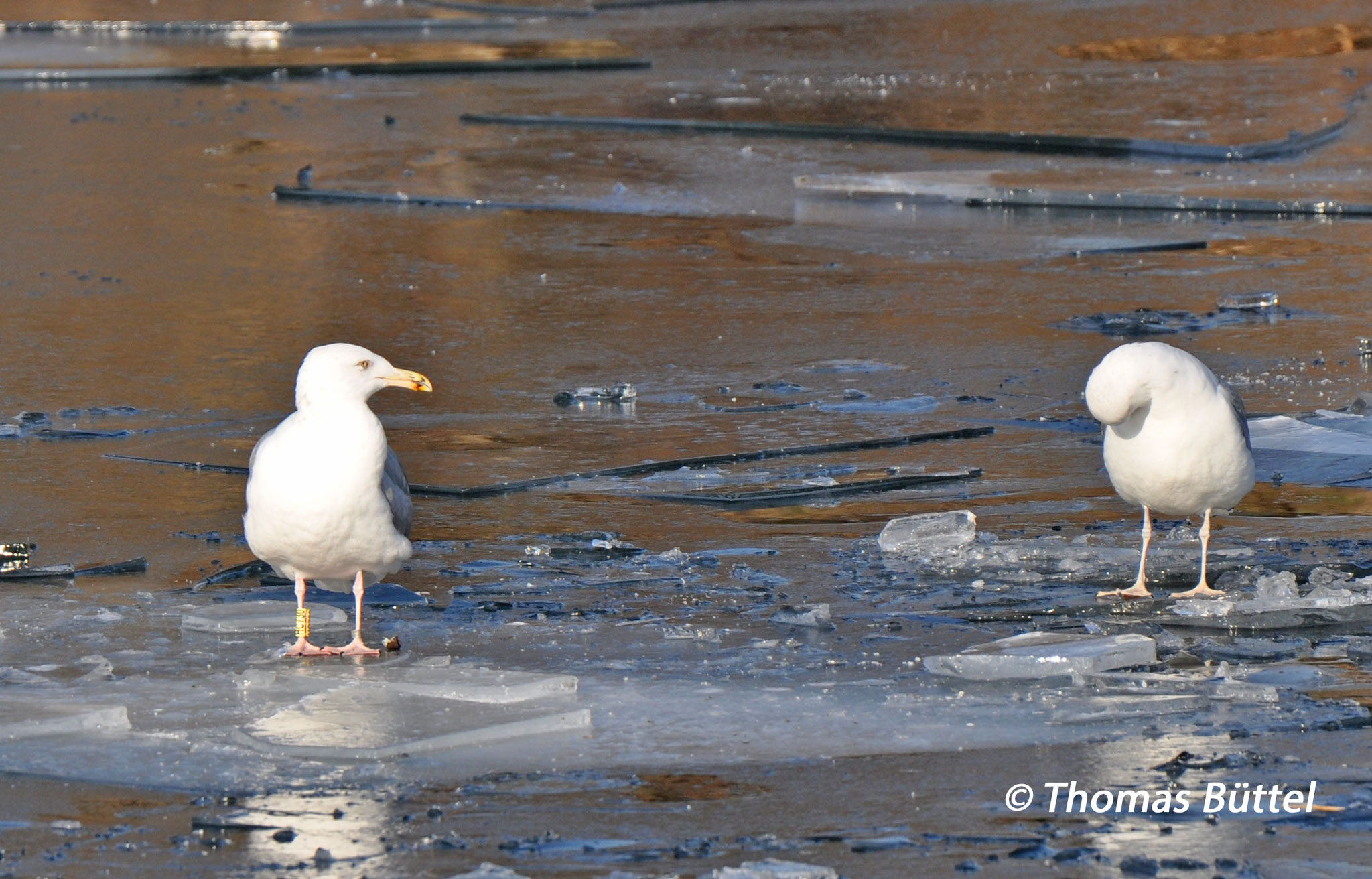 """Herring Gull"" (left) and Caspian Gull (right)"