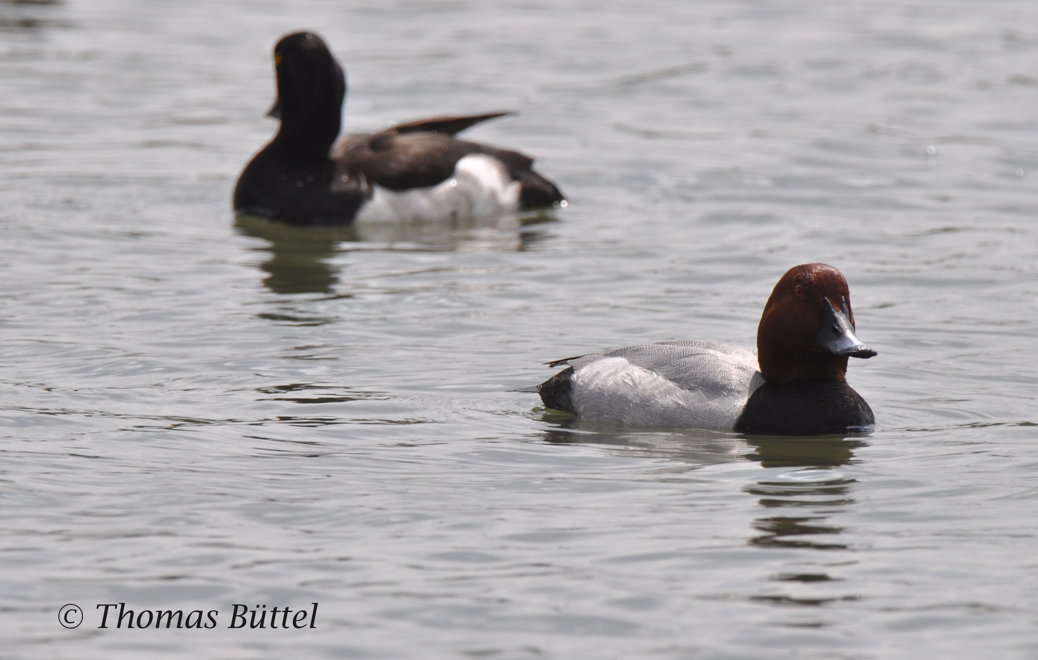 male Tufted Duck (background), male Pochard (foreground)