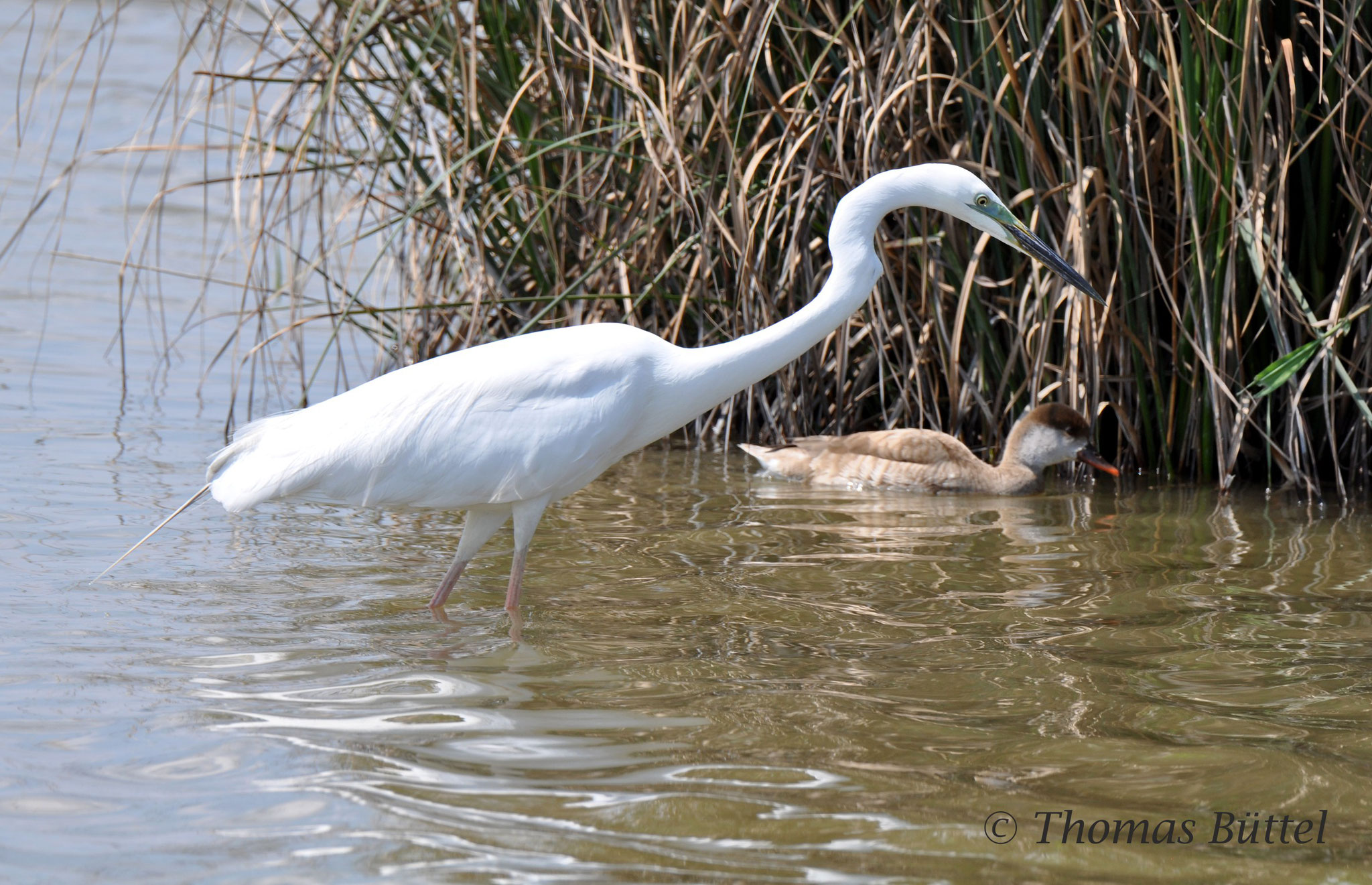 Great White Heron in front of a Red-crested Pochard