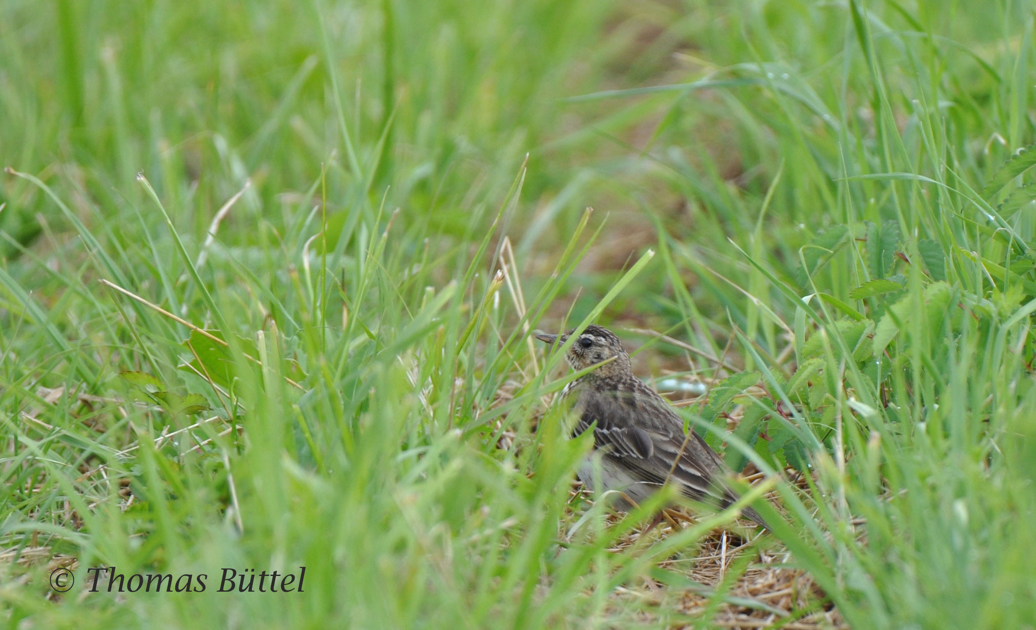 Tree Pipit on the ground