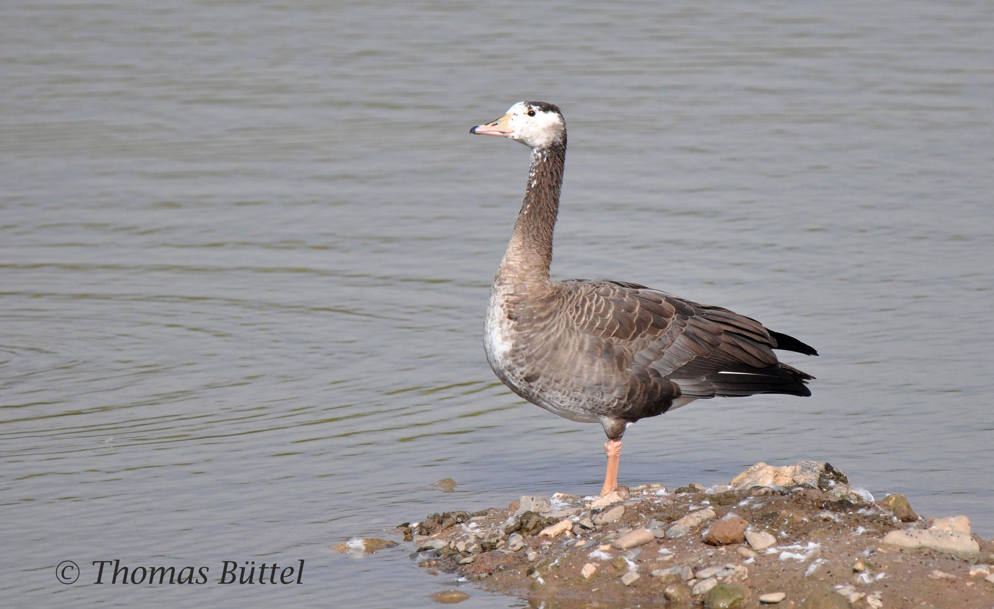 Greylag-x-Canada Goose hybrid