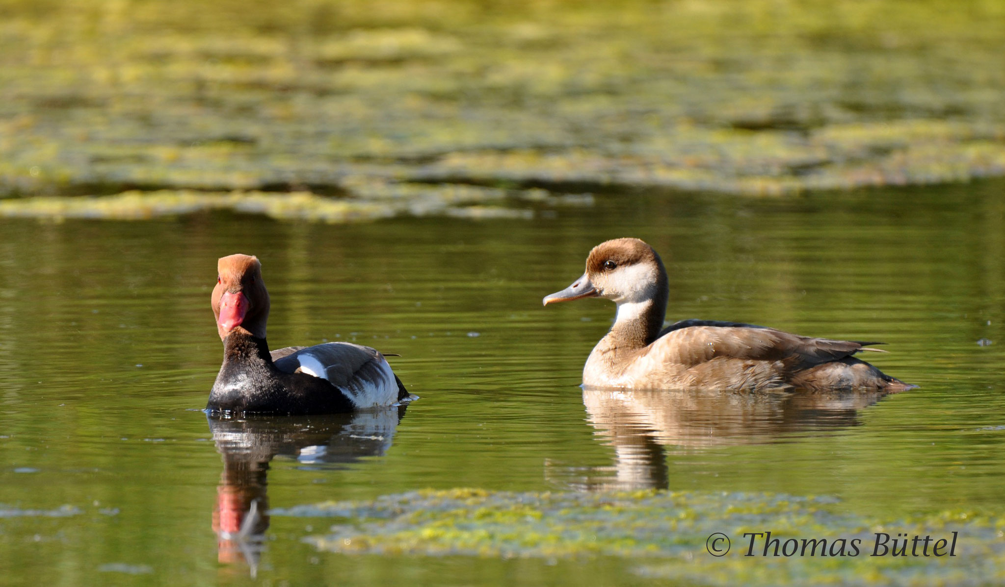 pair of Red-crested Pochards