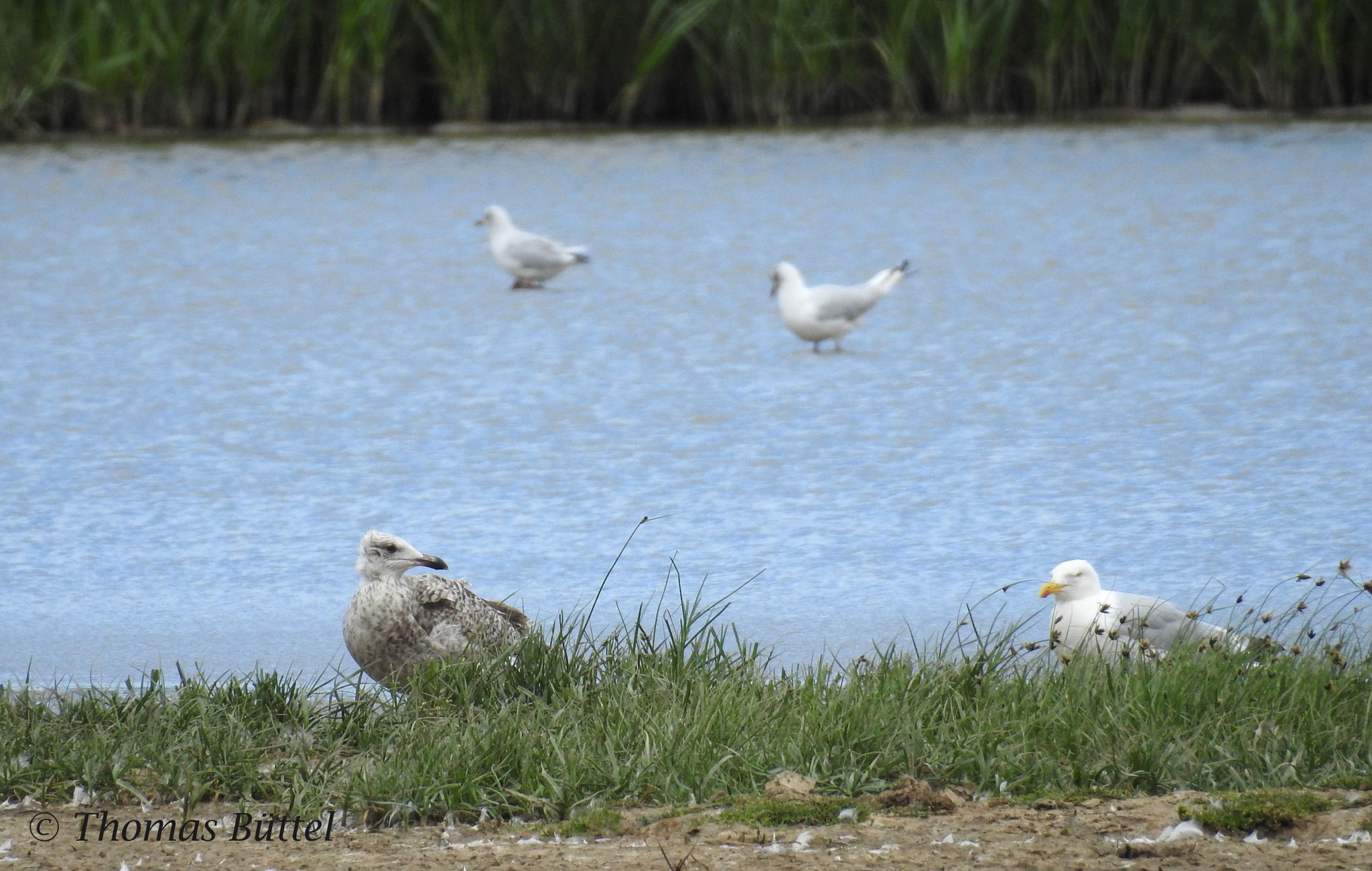 Herring Gulls (1st summer (?) on the left and adult)