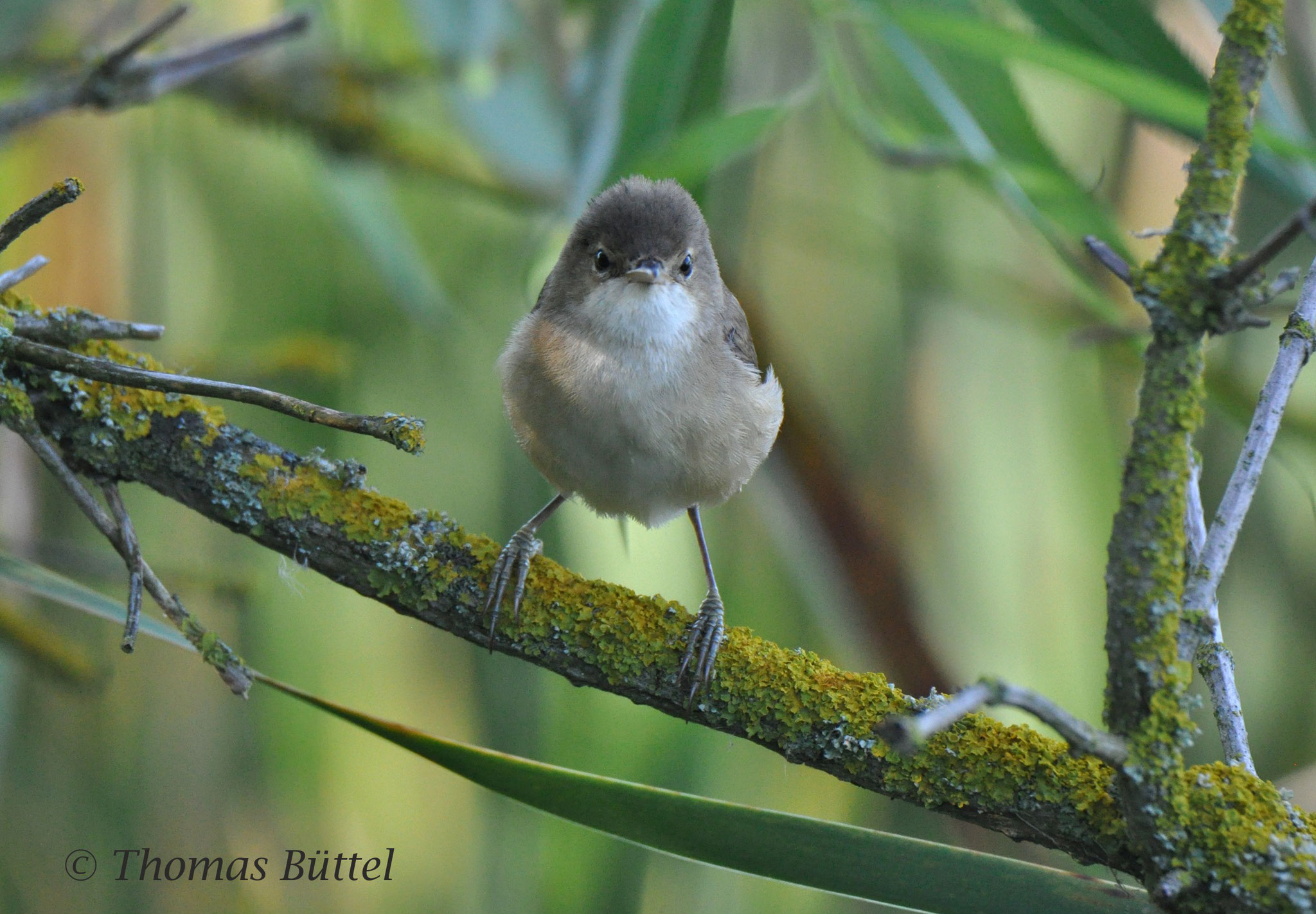 (Common) Reed Warbler