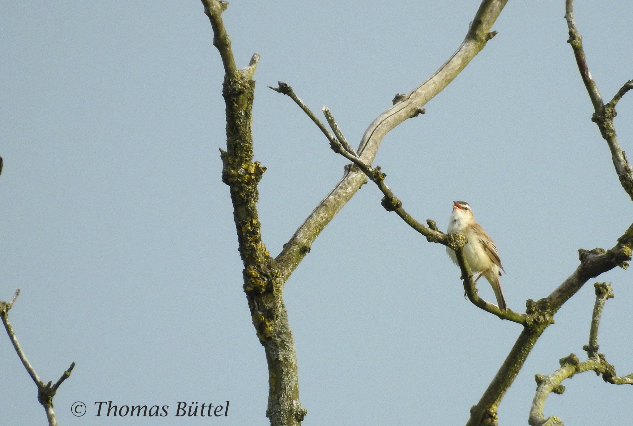 distant Sedge Warbler