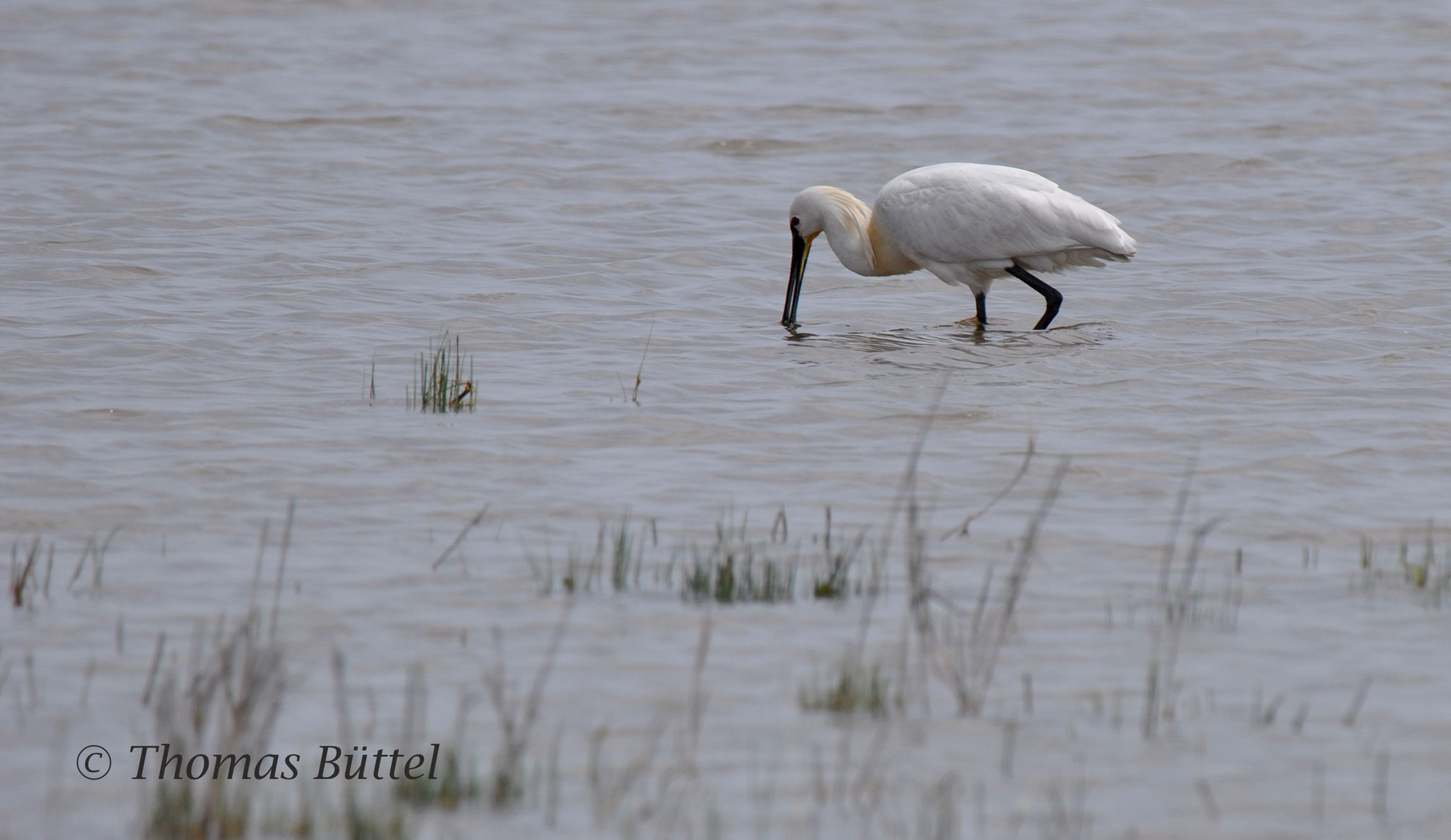Spoonbill (regular breeder)