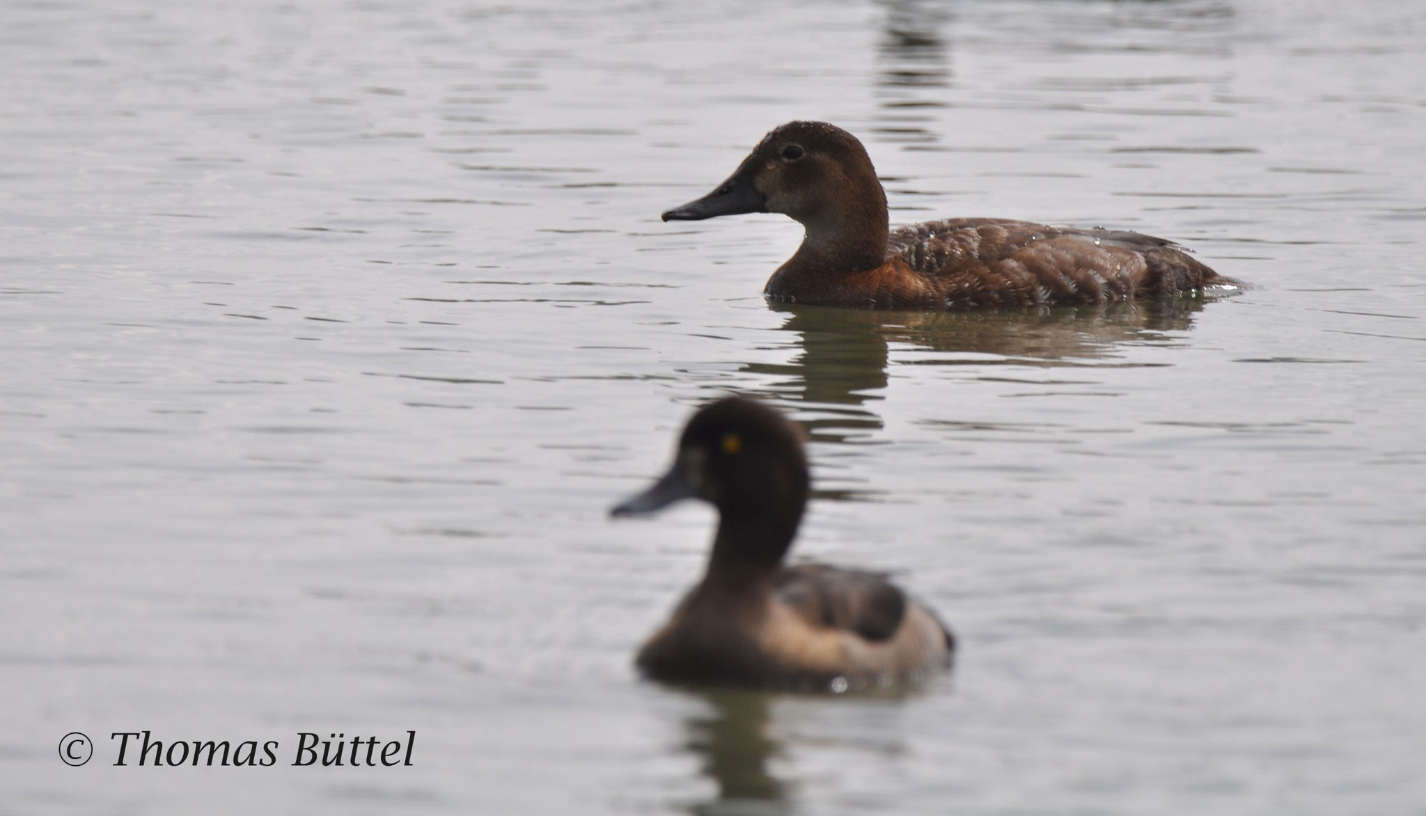 female Pochard (background), female Tufted Duck (foreground)
