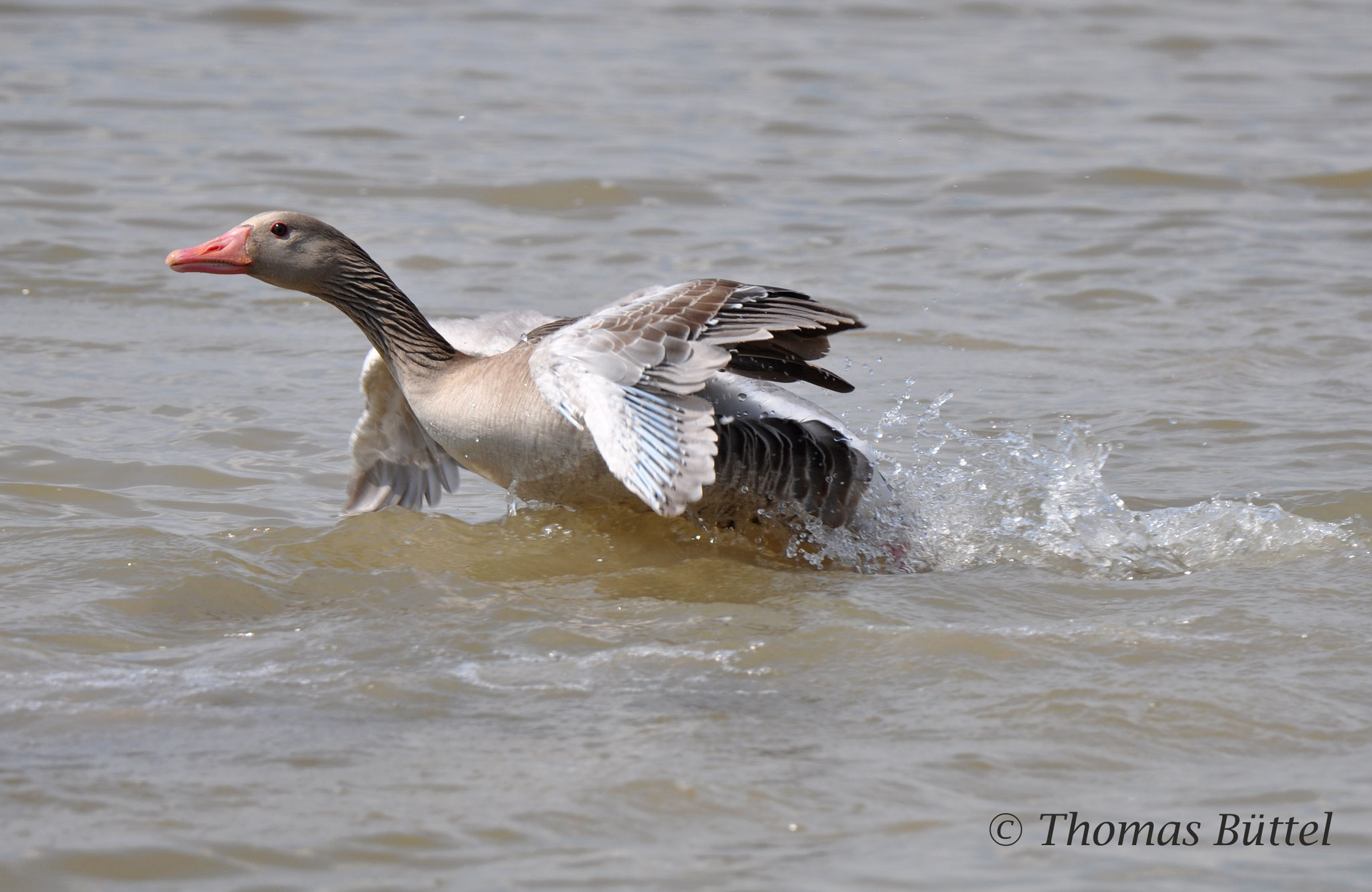 Greylag in action