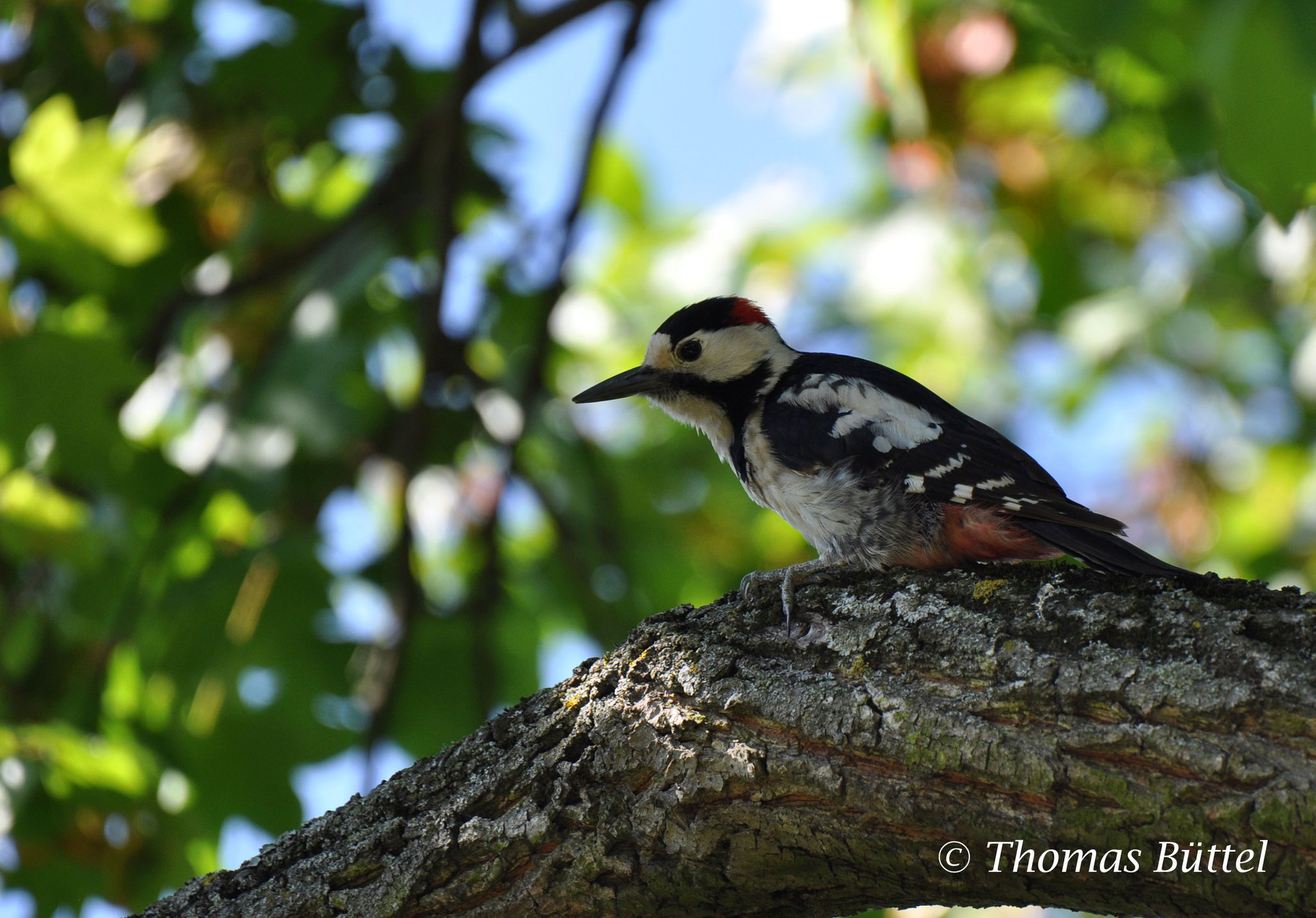 male Syrian Woodpecker