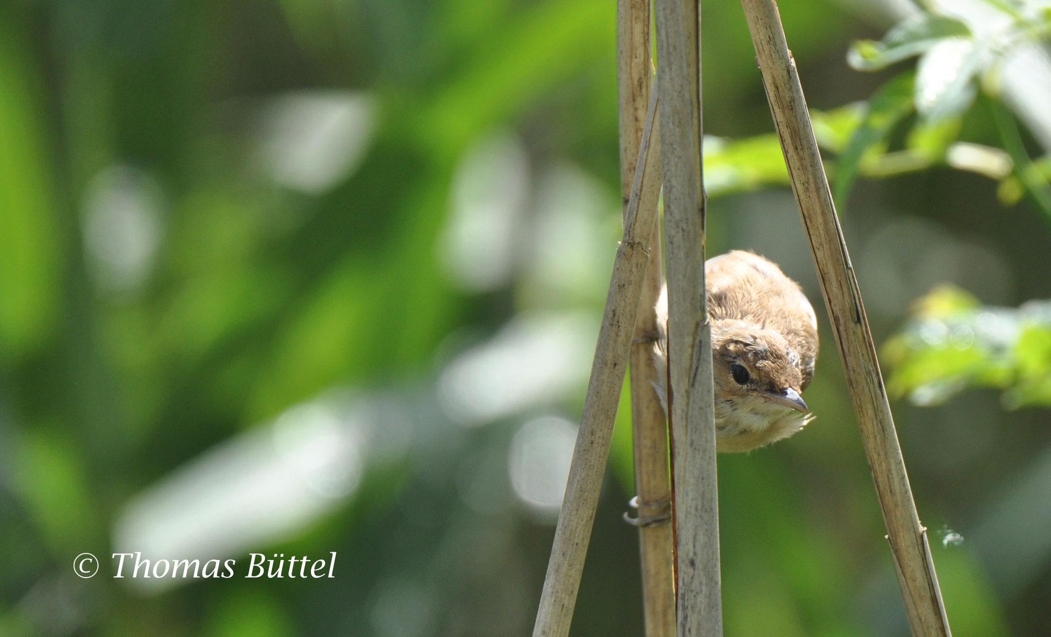 juvenile Eurasian Reed Warbler