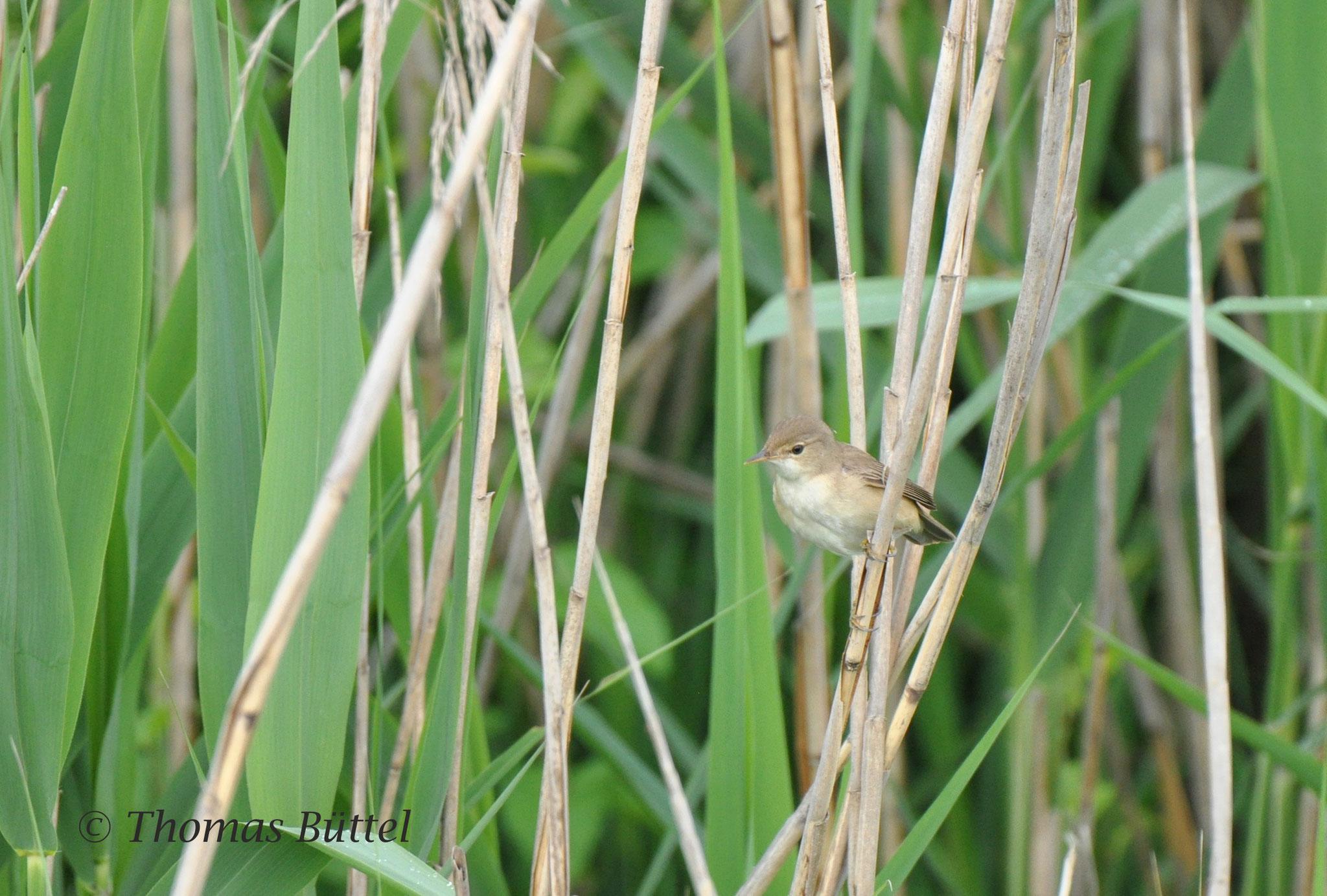 Sumpfrohrsänger - eine der drei dort brütenden Rohrsängerarten
