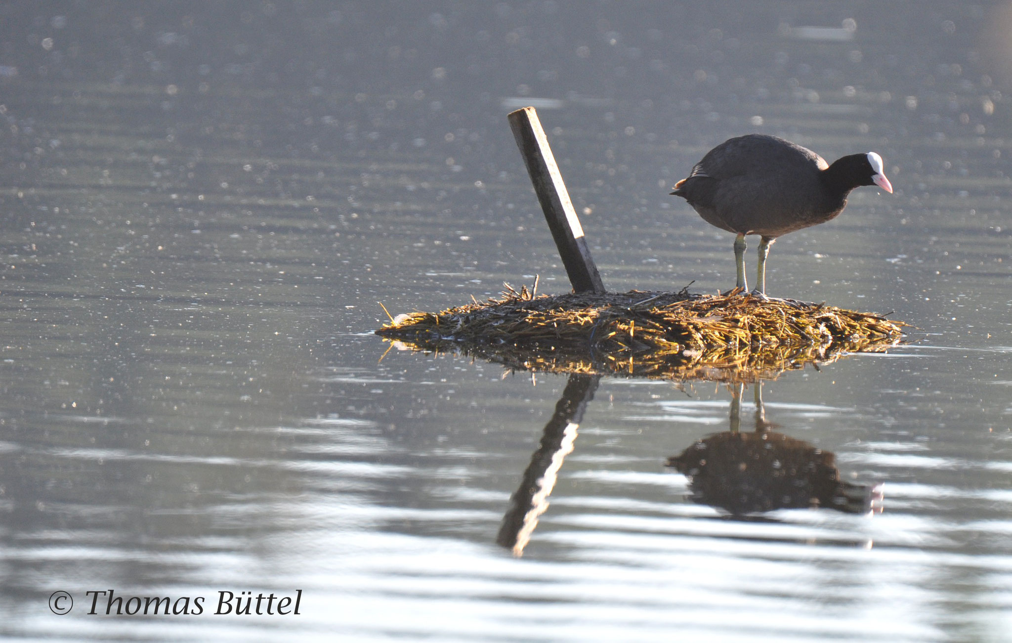 Coot on its nest