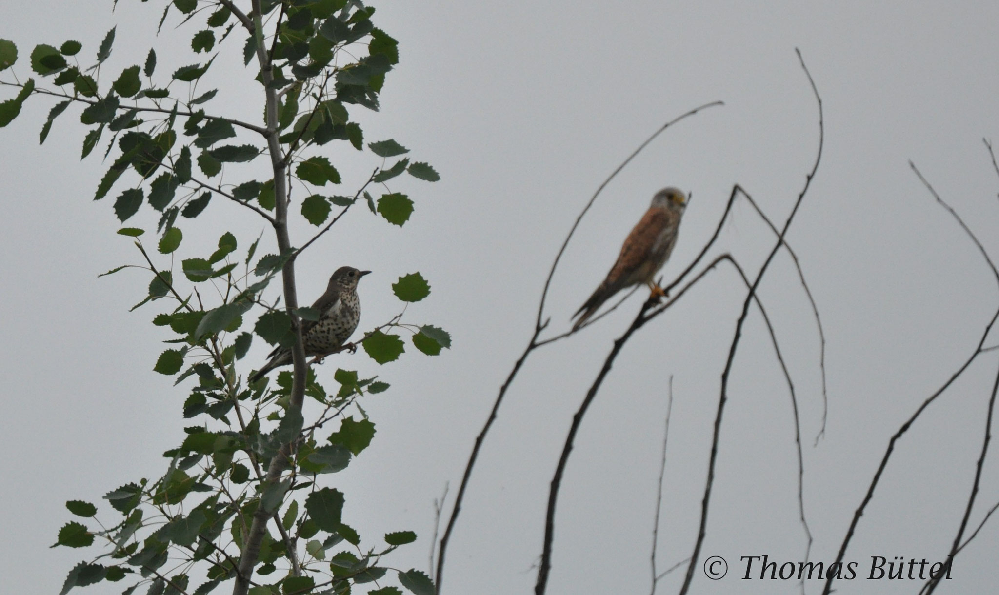 Mistle Thrush (left) and Kestrel (right)