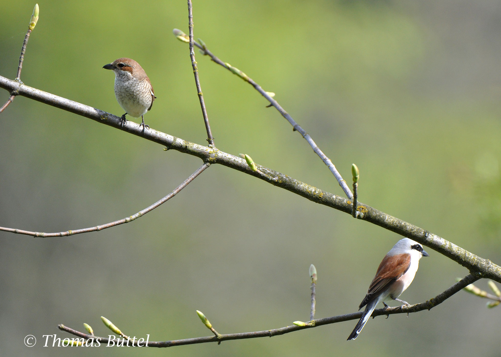 pair of Red-backed Shrikes