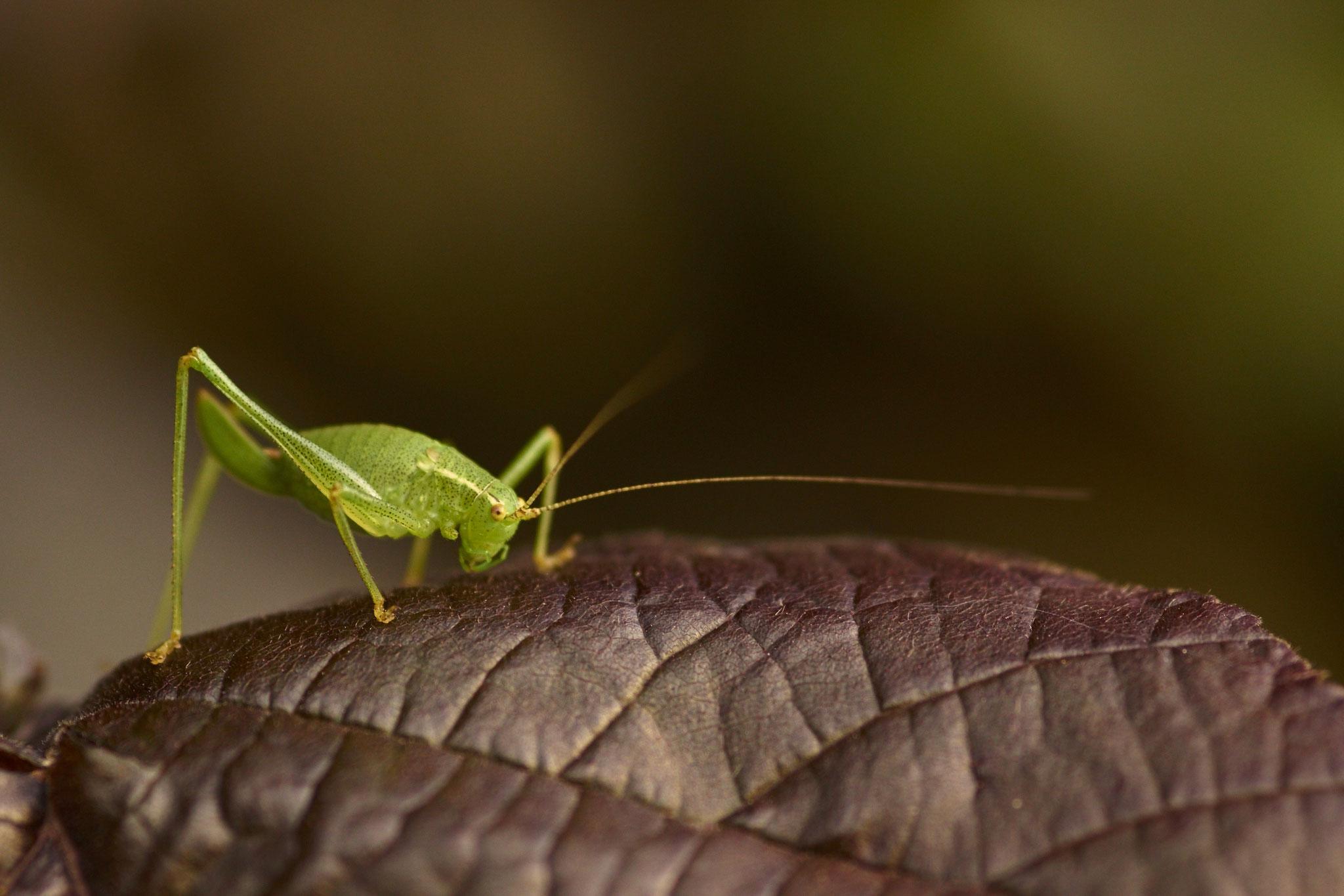 Leptophye ponctuée femelle reconnaissable avec son ovipositeur en forme de sabre