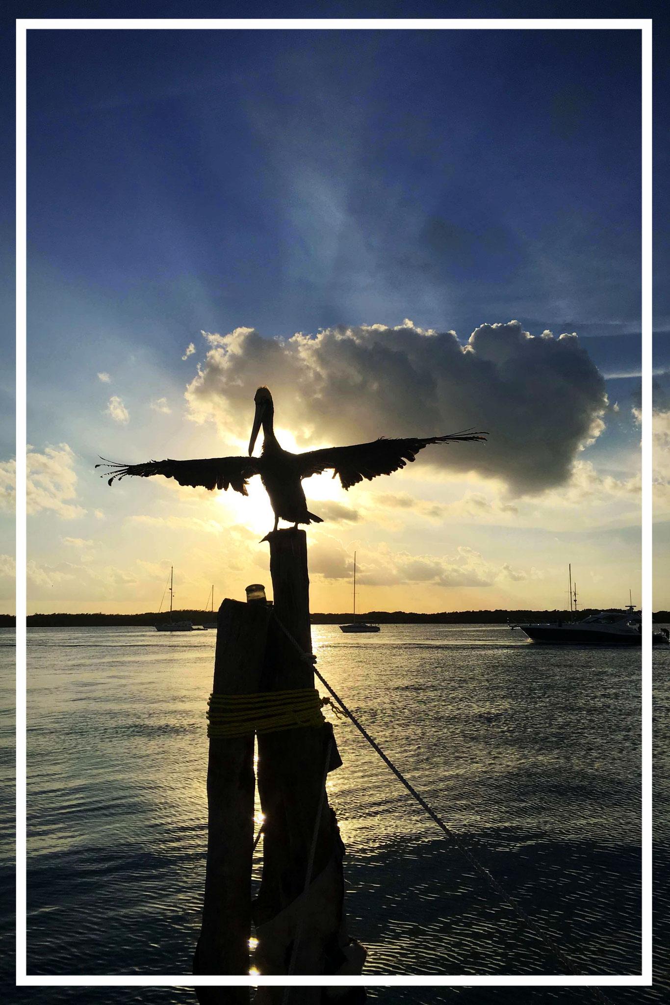 Pelikan beim Trocknen :-)