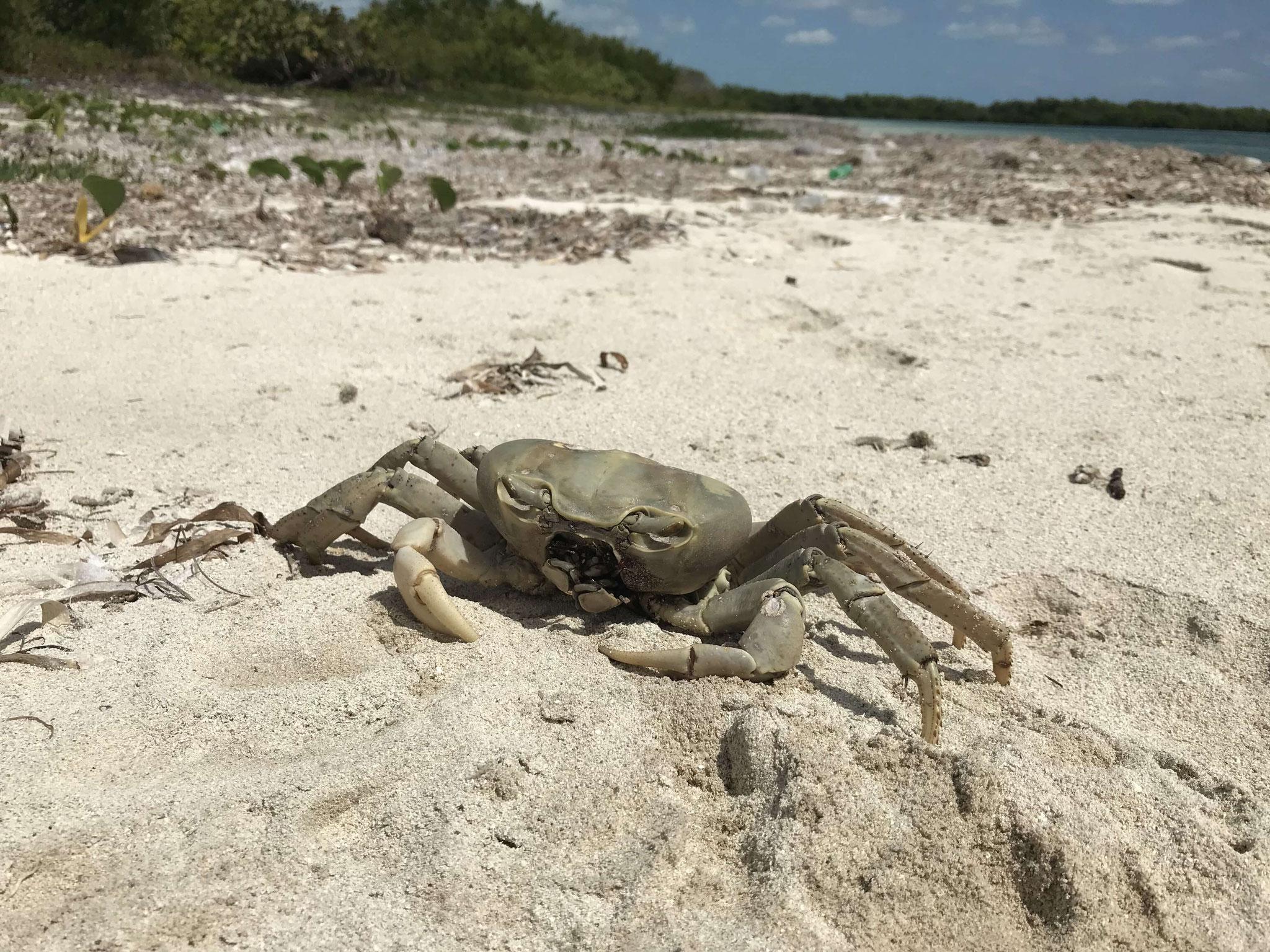 dead crab