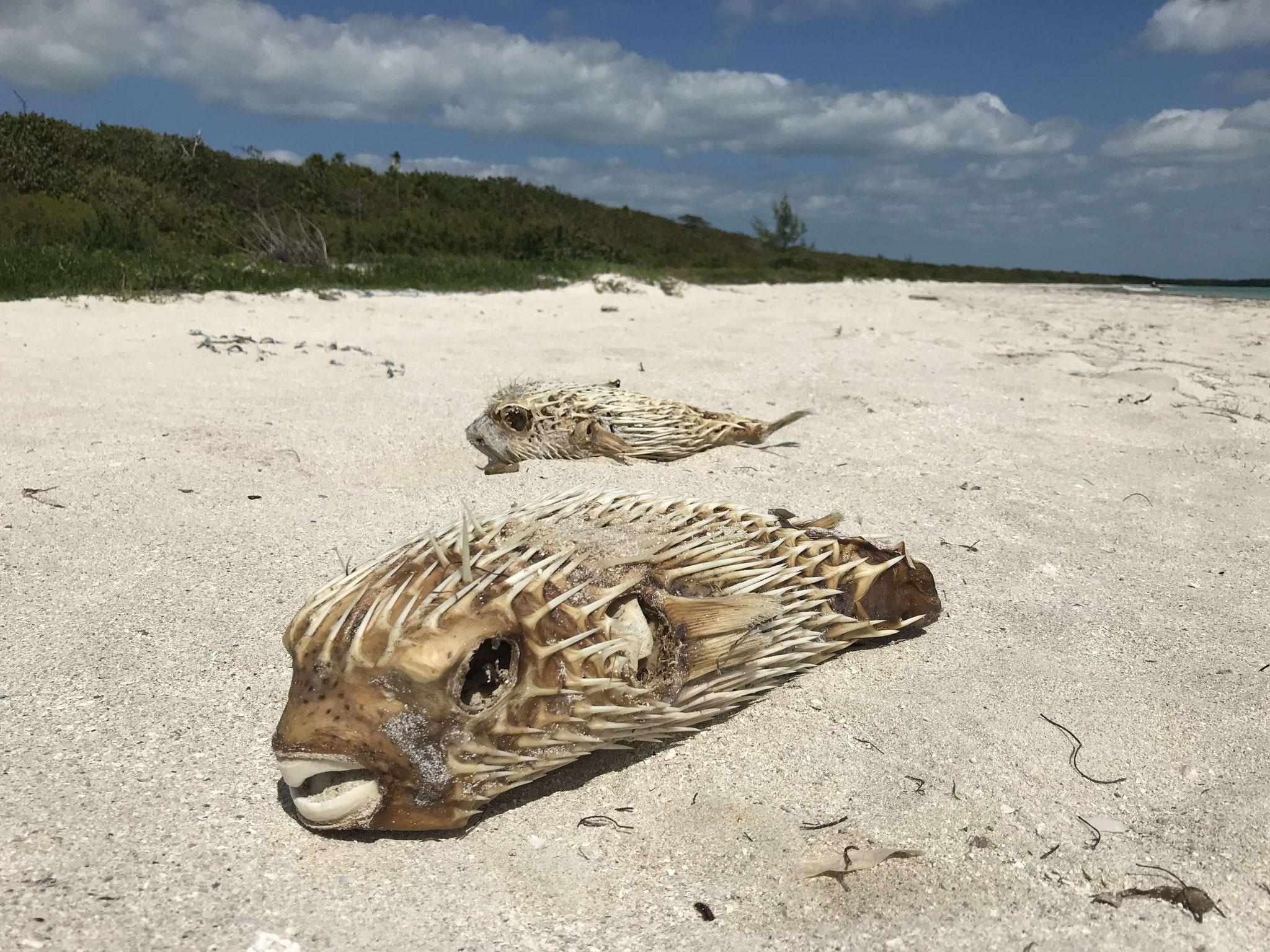 Blähfische mit Stacheln