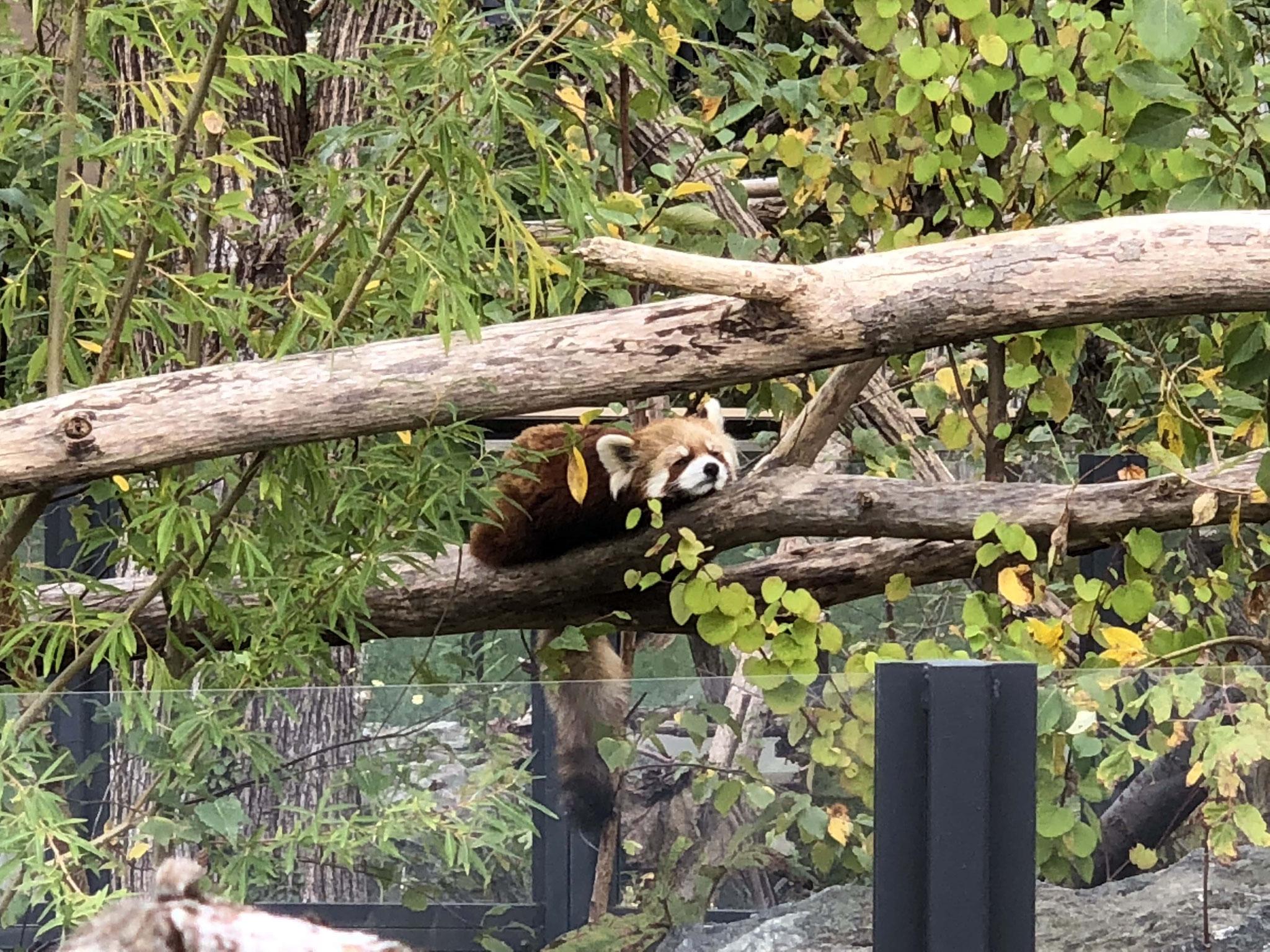 【円山動物園】ぐったりレッサーパンダ