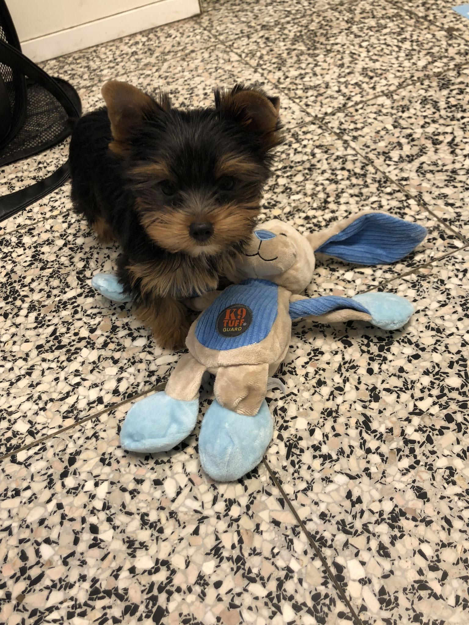 York pupje met zijn speeltje