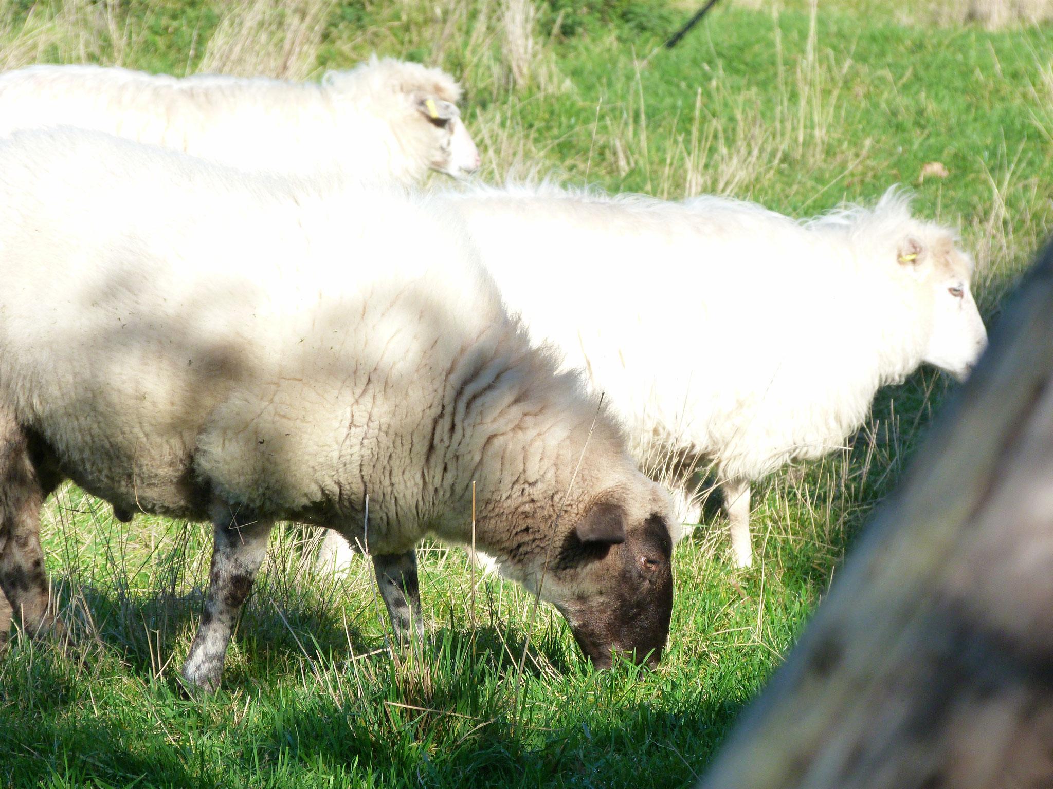 Kinder und Schafe