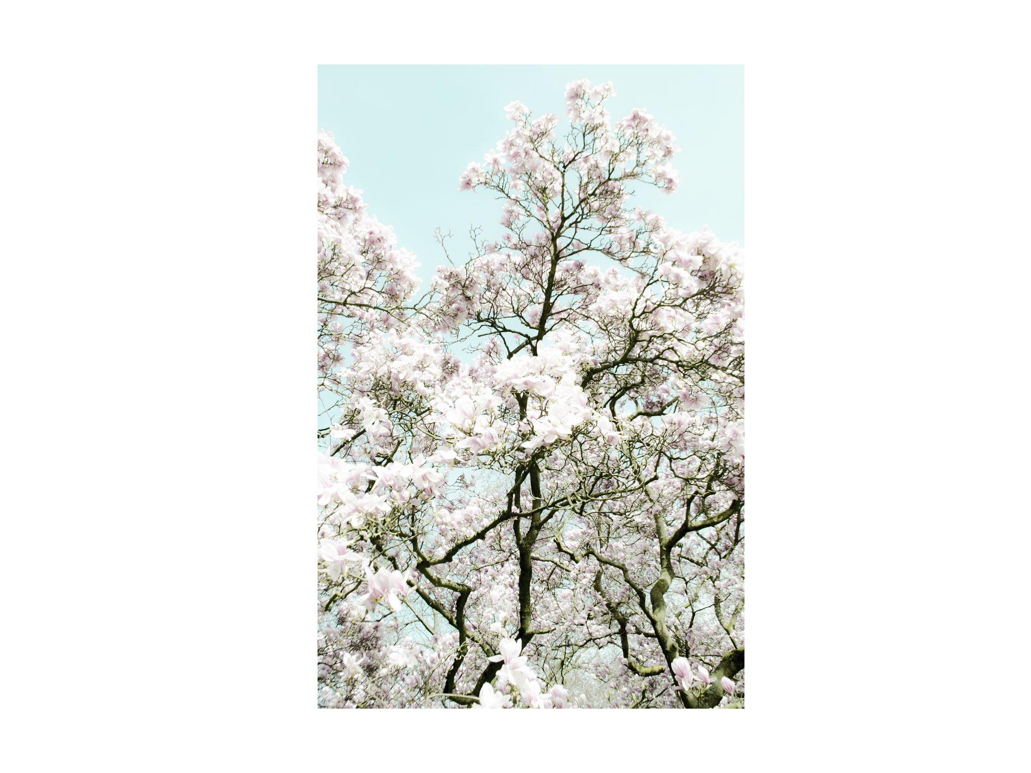 Kirschblüten 1