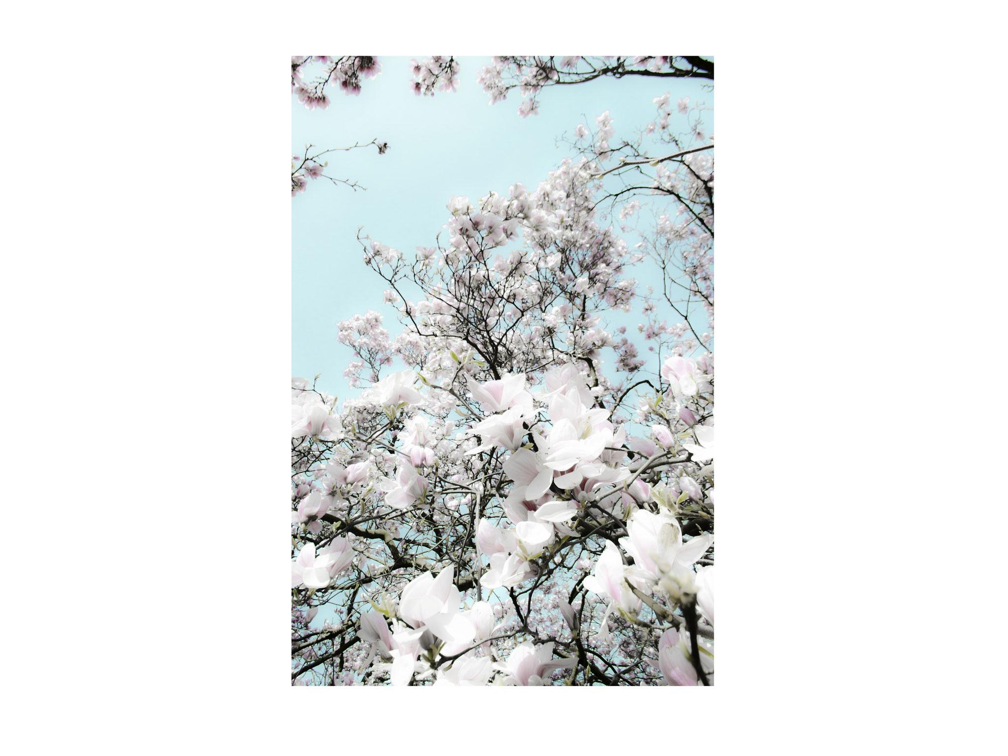 Kirschblüten 4