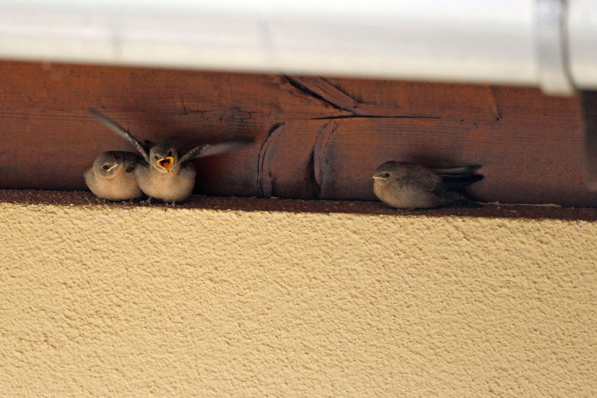 Junge Mauersegler © Claudia Becher, LBV Bildarchiv